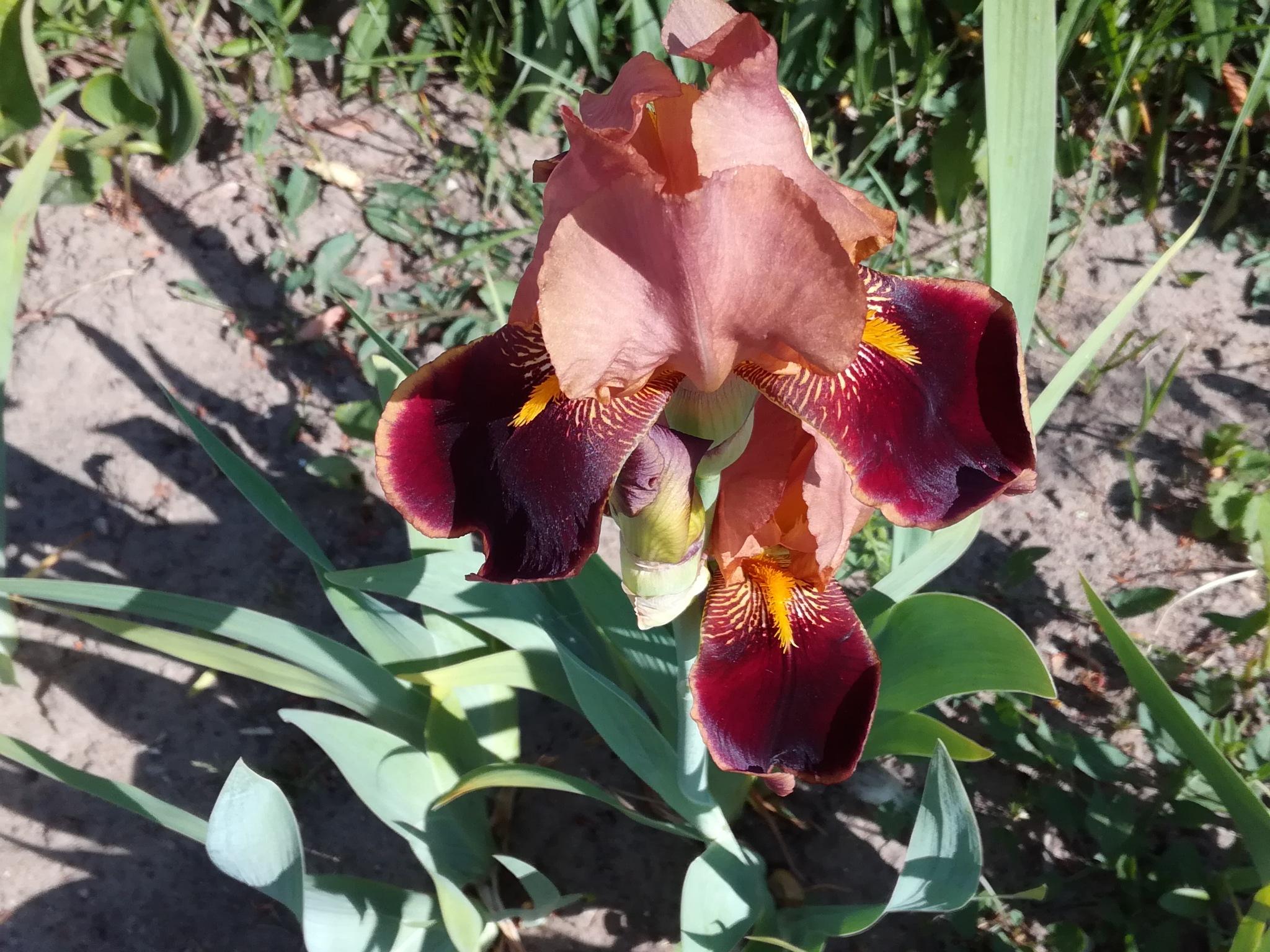 Iris by uzkuraitiene62