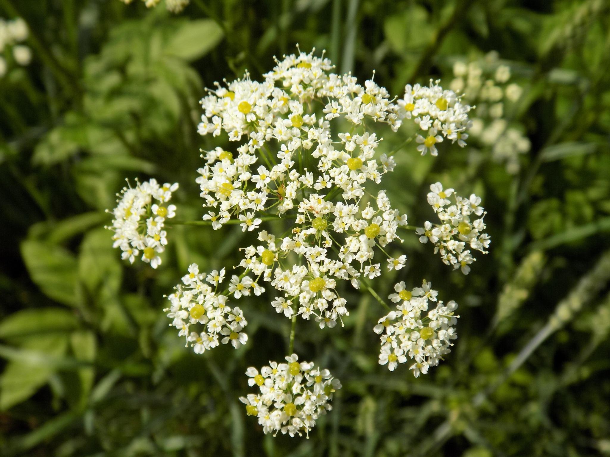 Wild plant by uzkuraitiene62