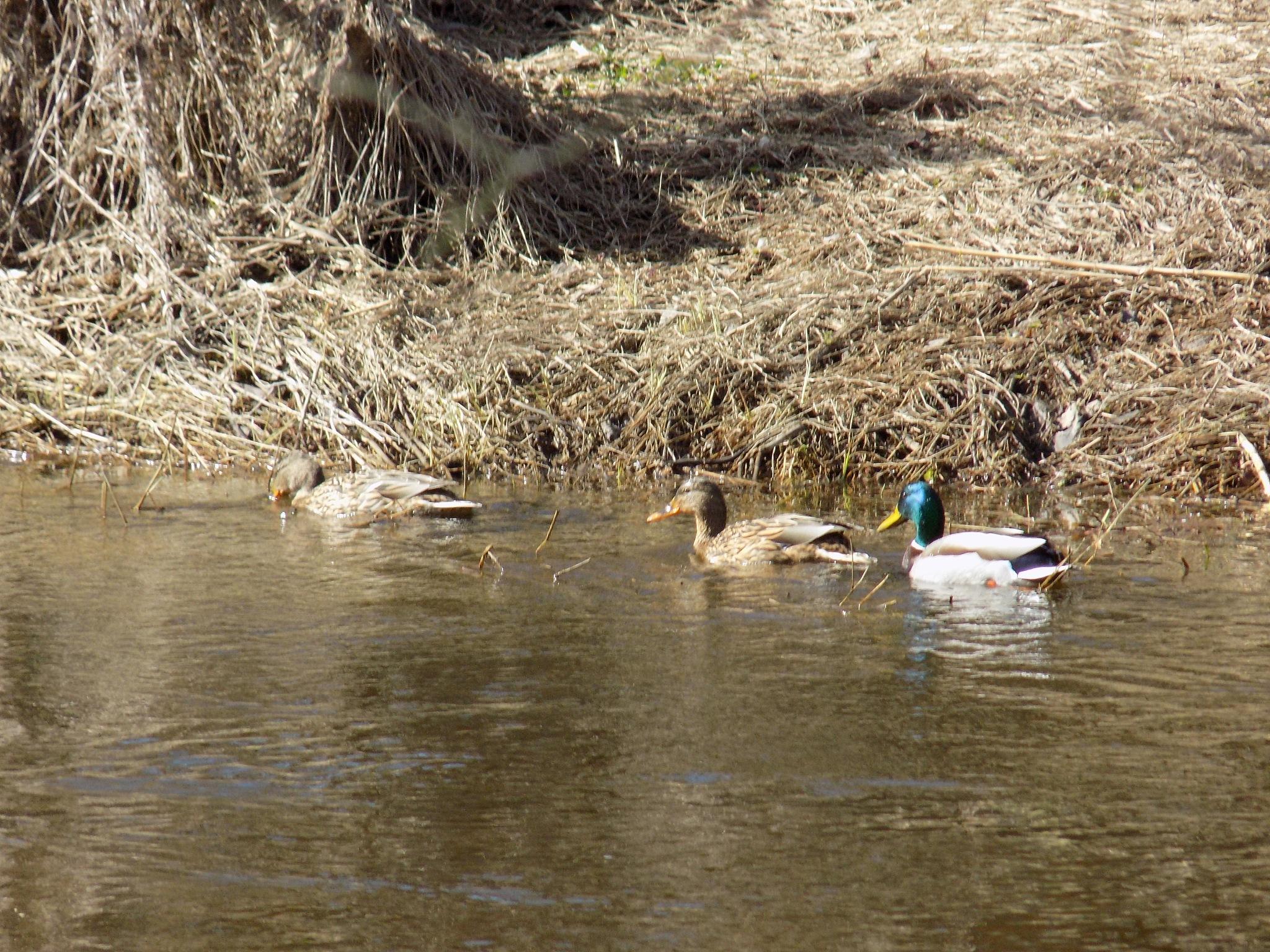 Ducks on the river by uzkuraitiene62