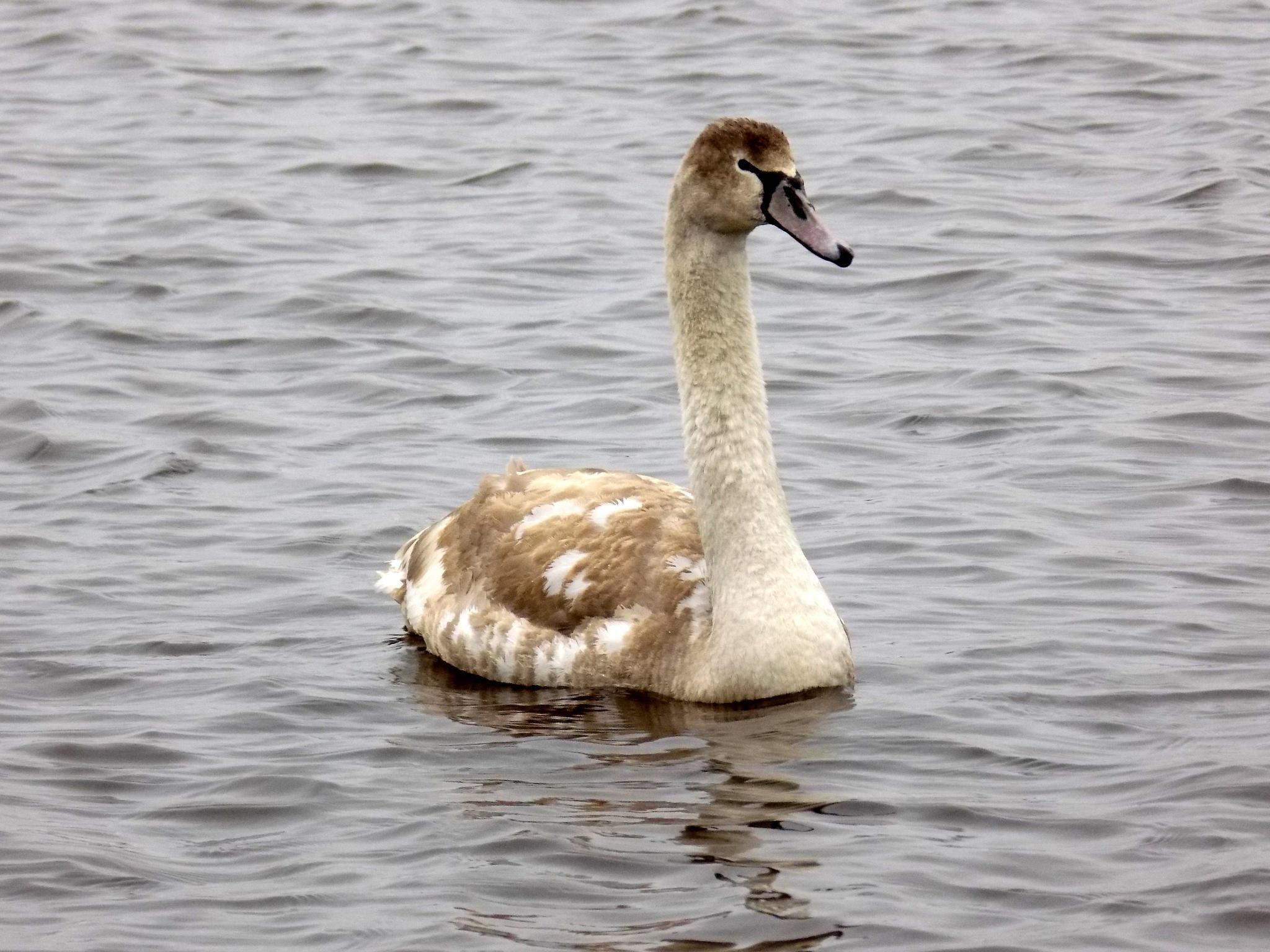 Young swan by uzkuraitiene62