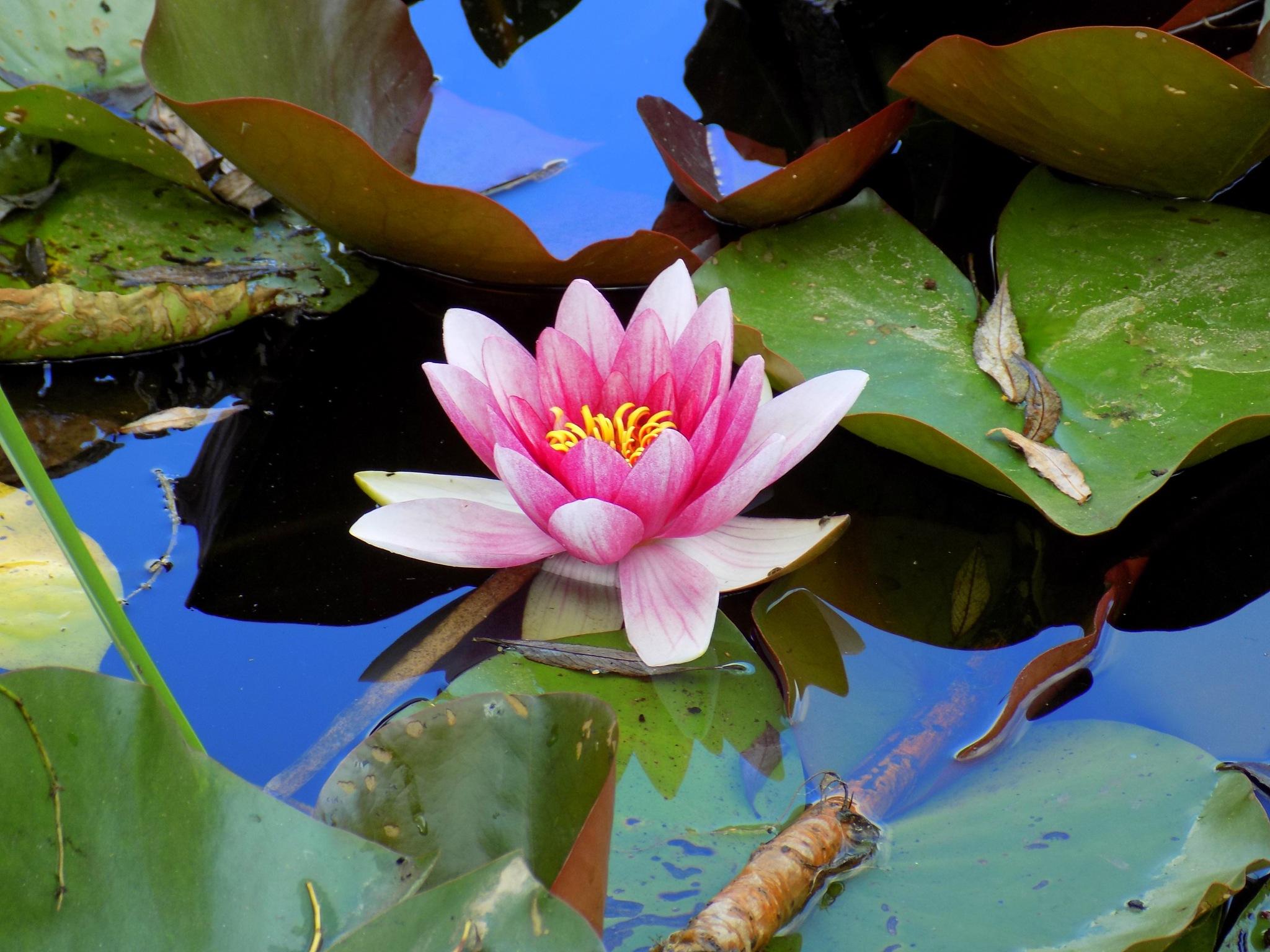 In the pond by uzkuraitiene62