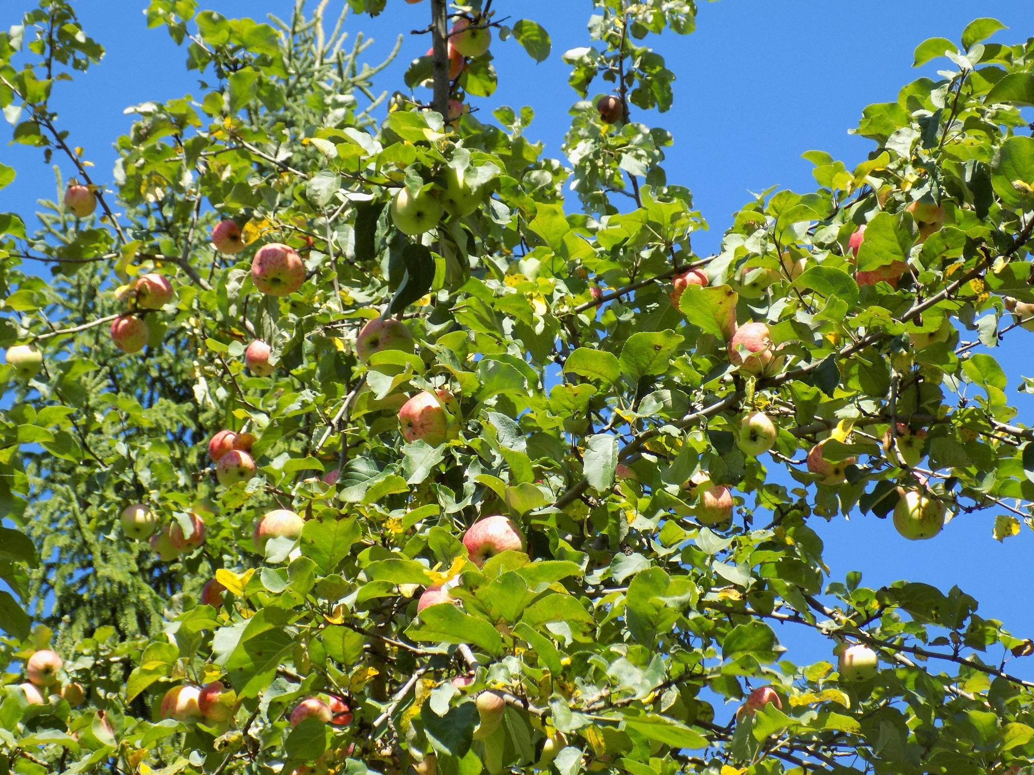 Apple tree with fruit by uzkuraitiene62