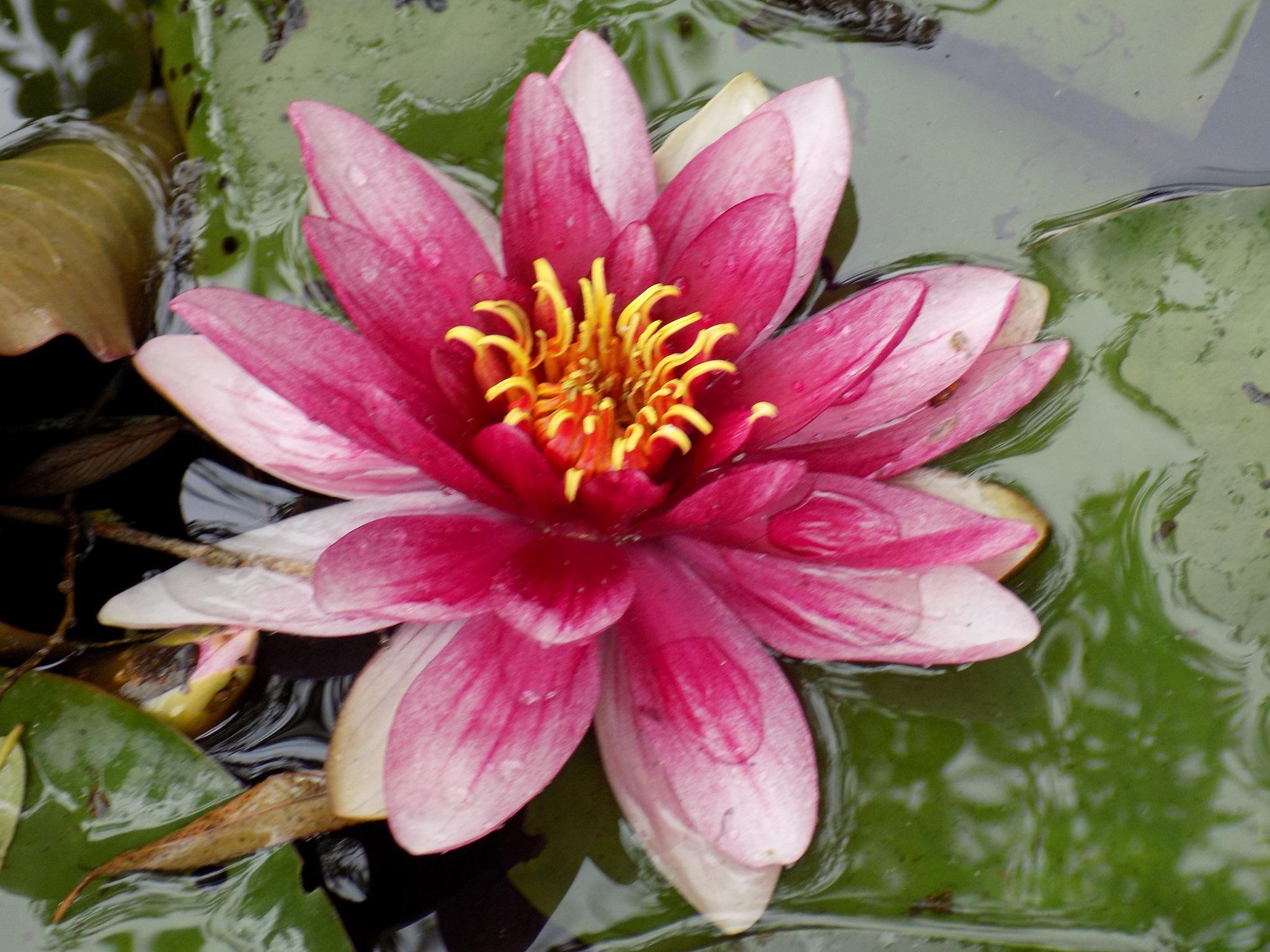 Water lily by uzkuraitiene62