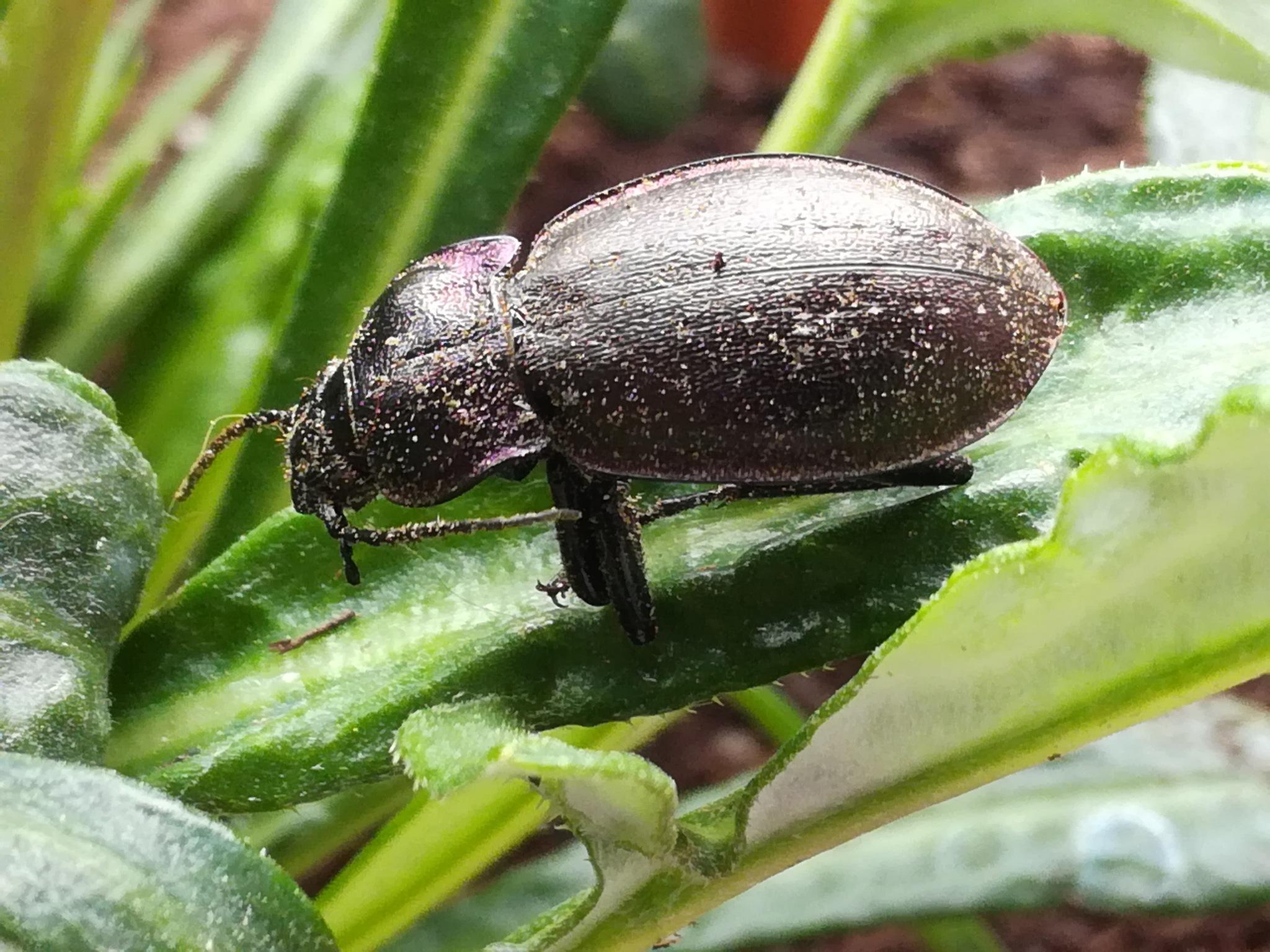 Black beetle by uzkuraitiene62