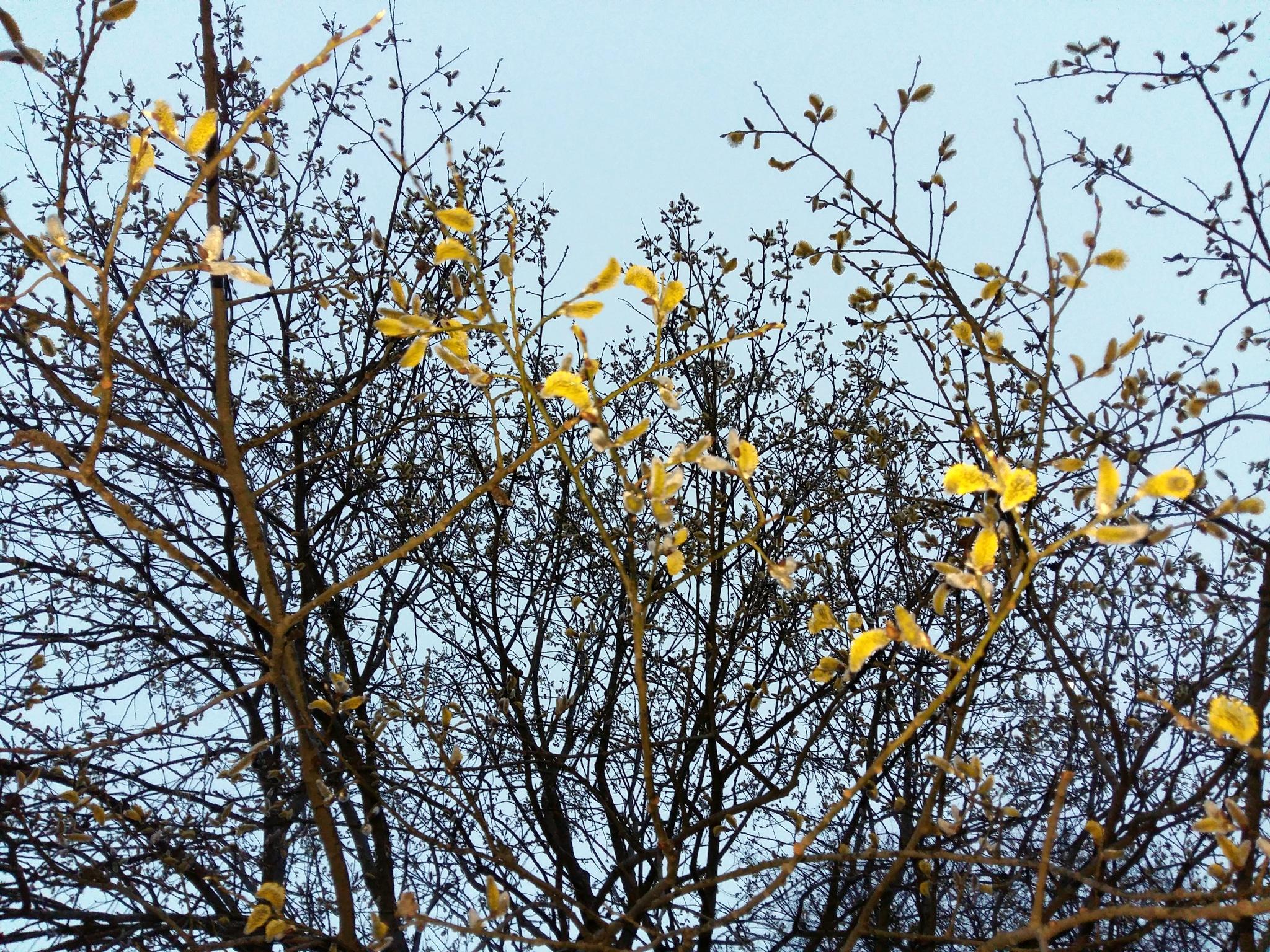 Sallow in spring by uzkuraitiene62