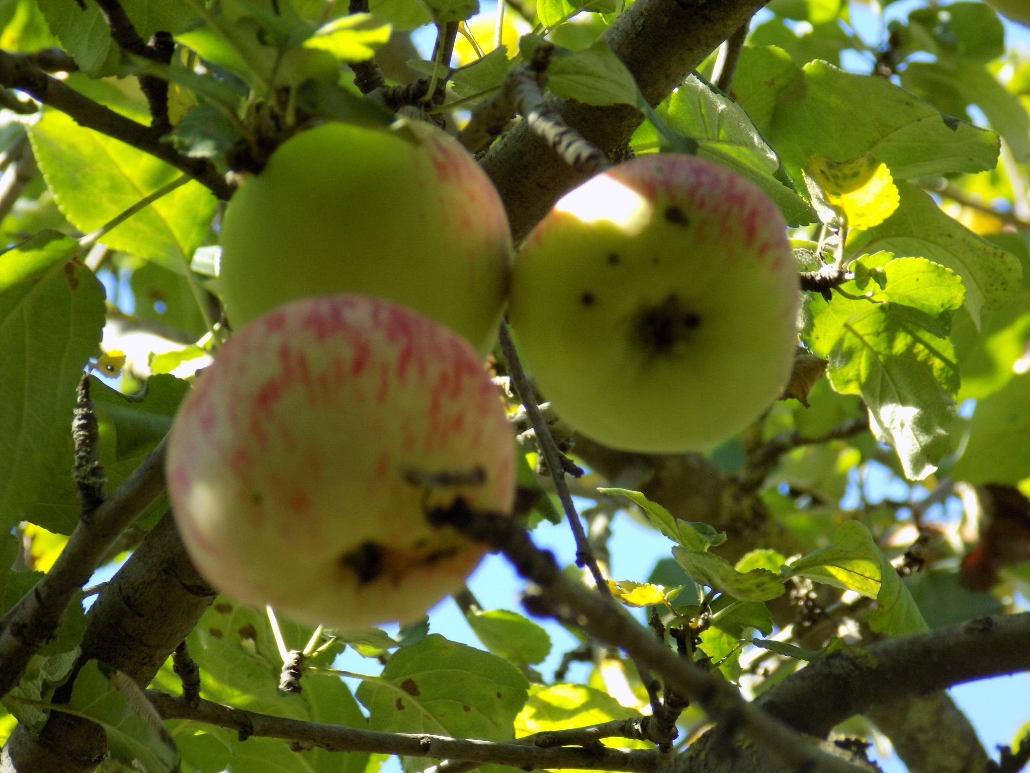 Apples by uzkuraitiene62