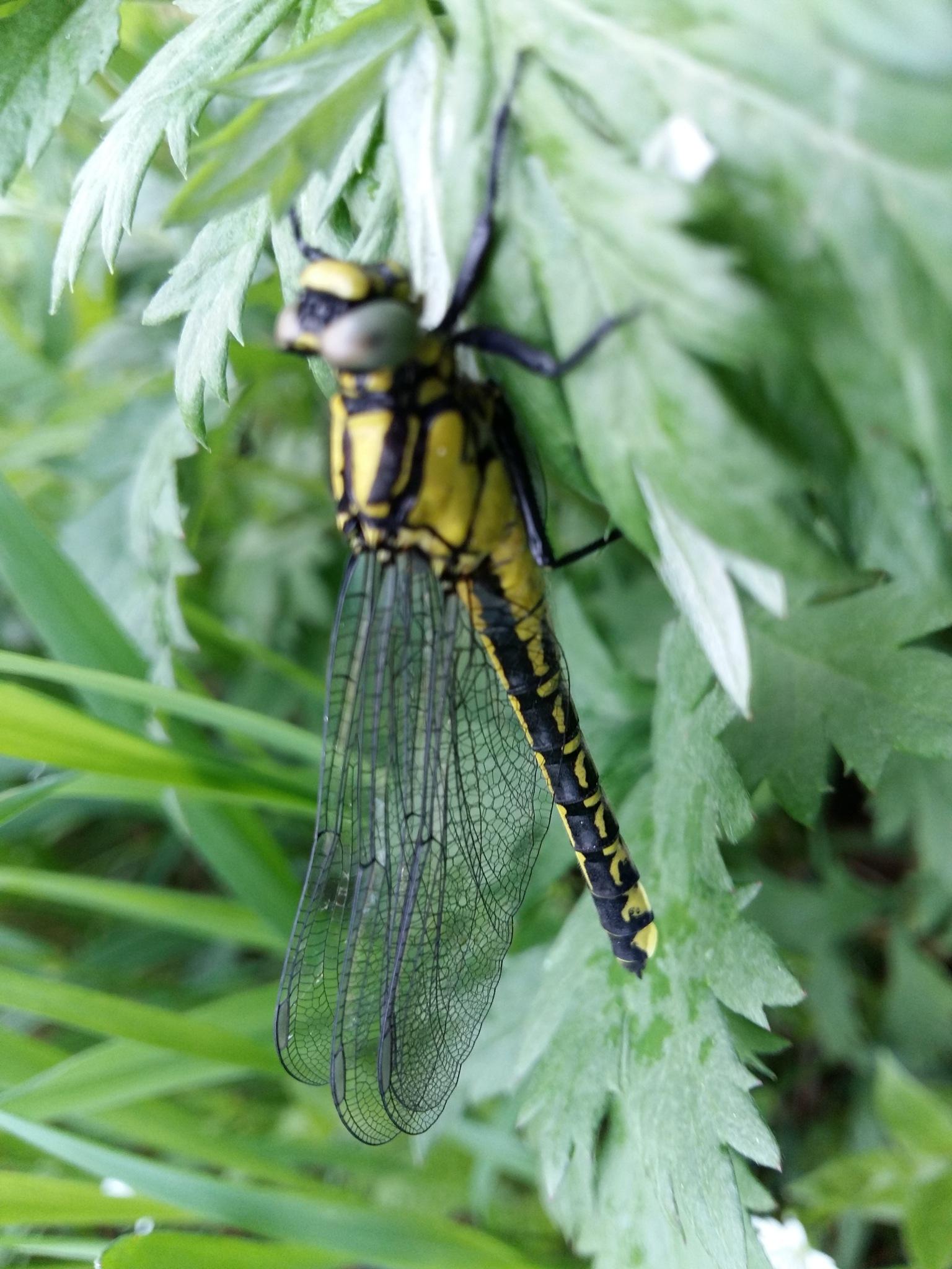 Dragonfly. by uzkuraitiene62