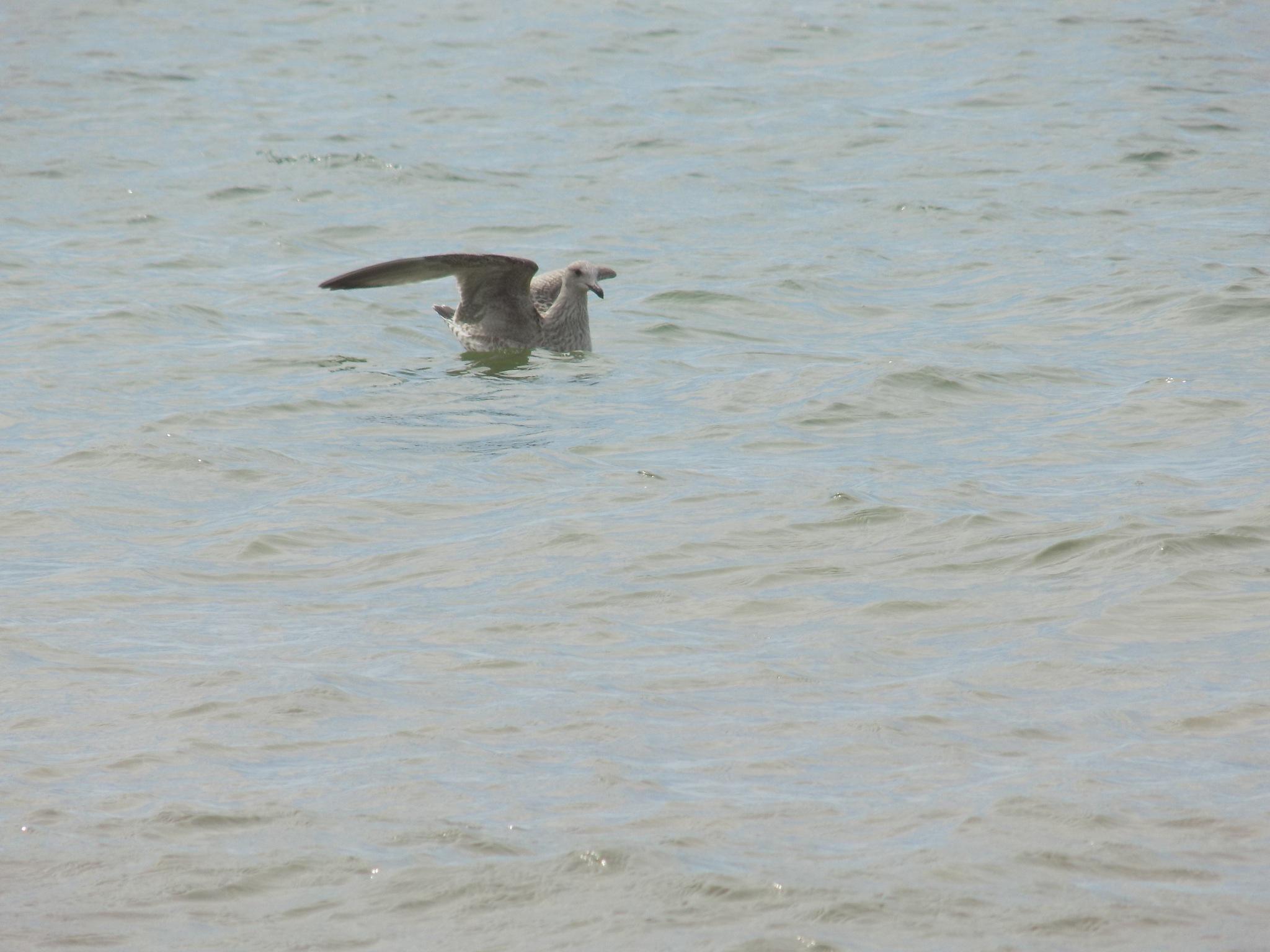 Sea bird by uzkuraitiene62