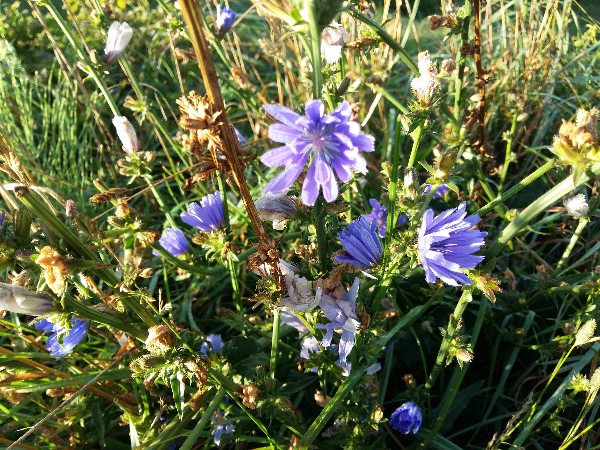 Blue meadow flowers by uzkuraitiene62