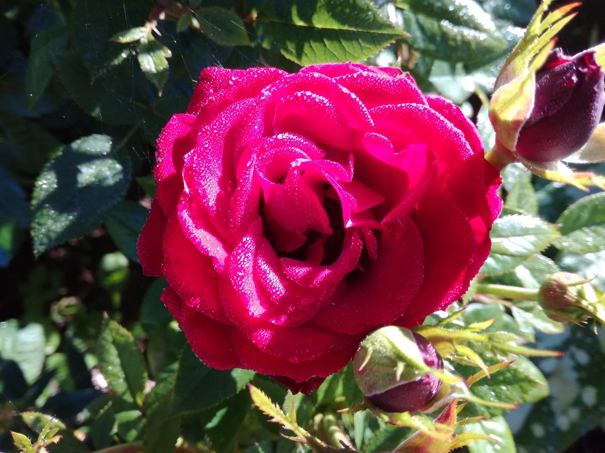Rose with dew drops by uzkuraitiene62