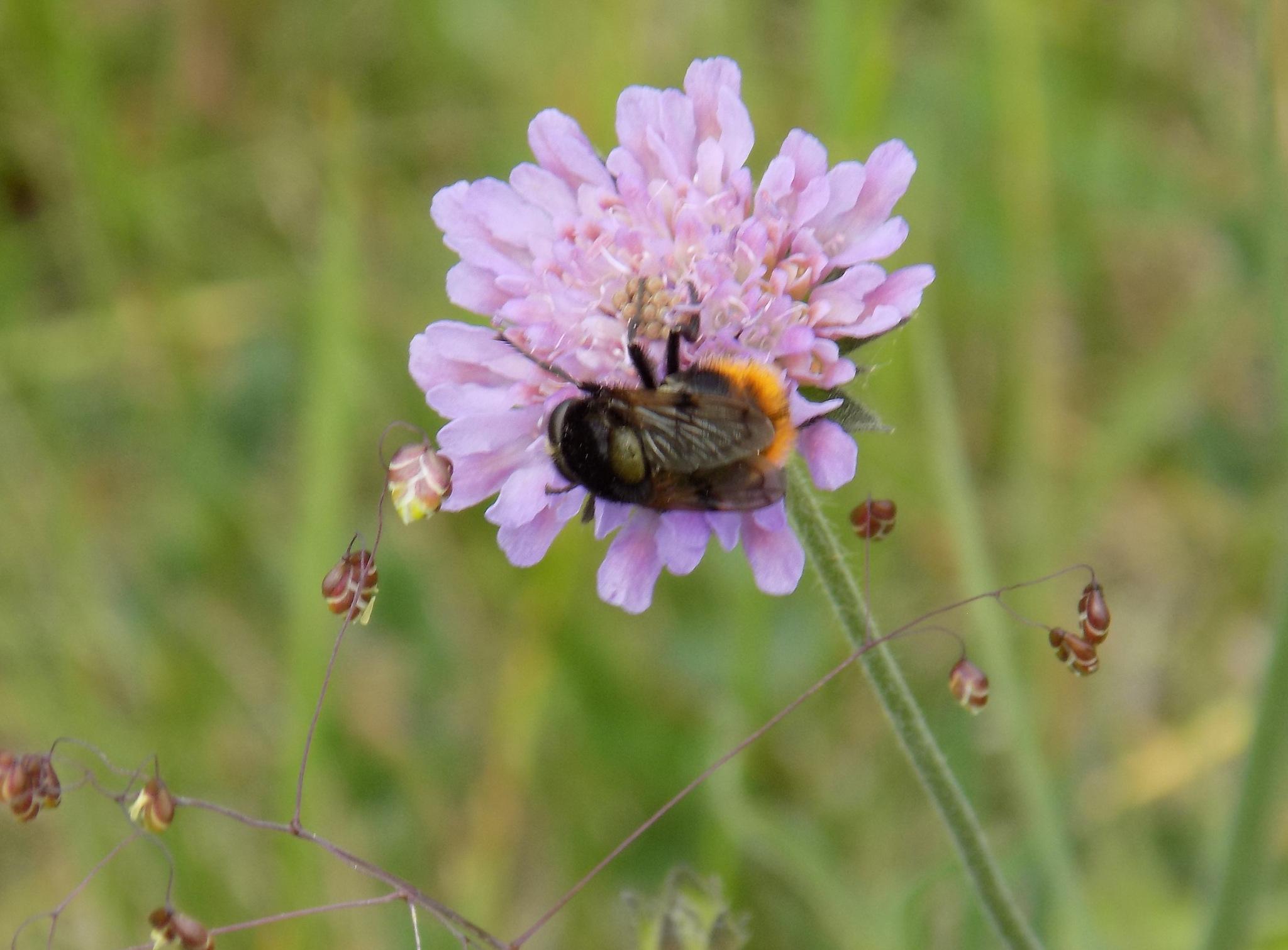 Bumblebee. by uzkuraitiene62