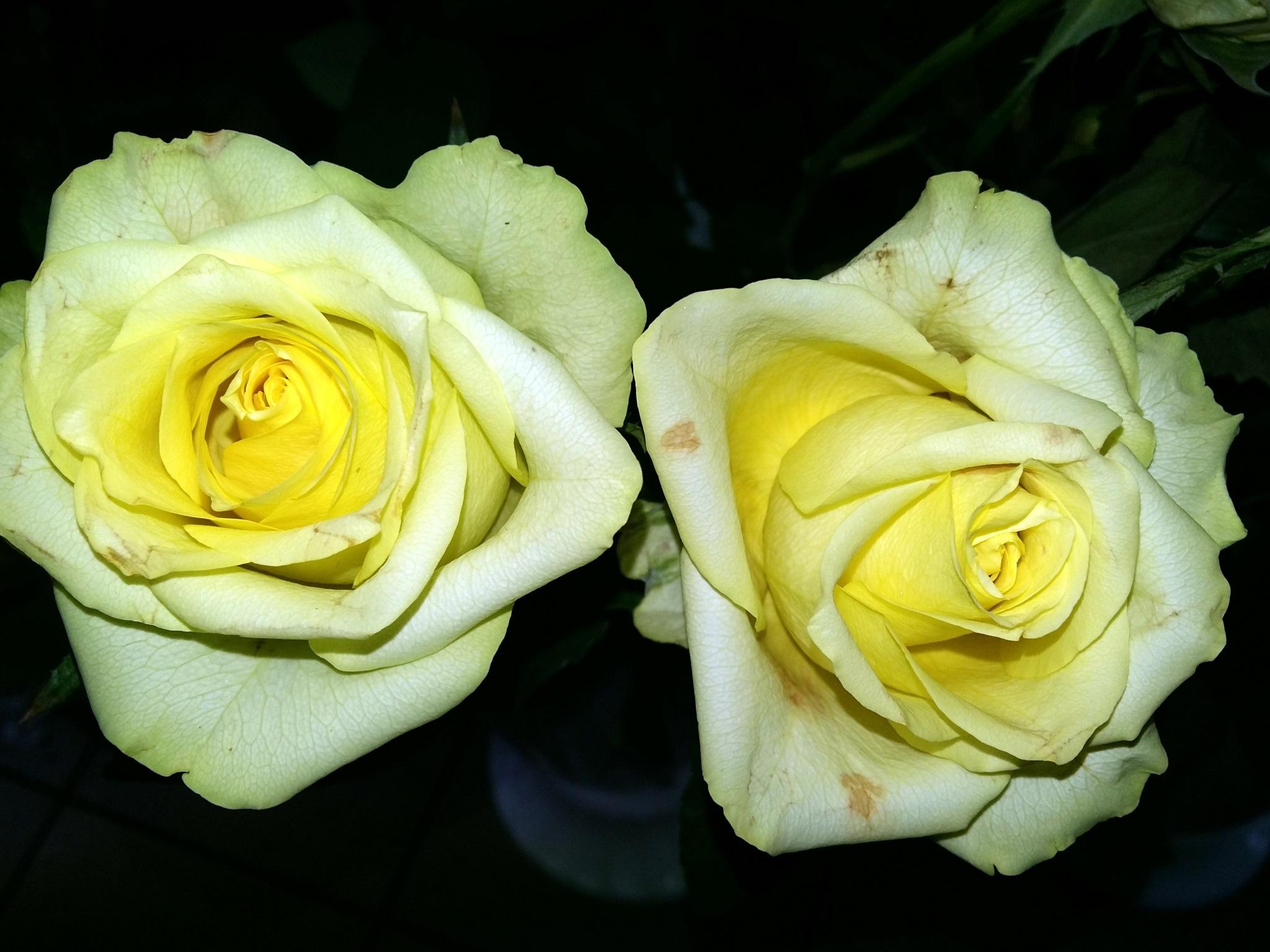 Two roses by uzkuraitiene62