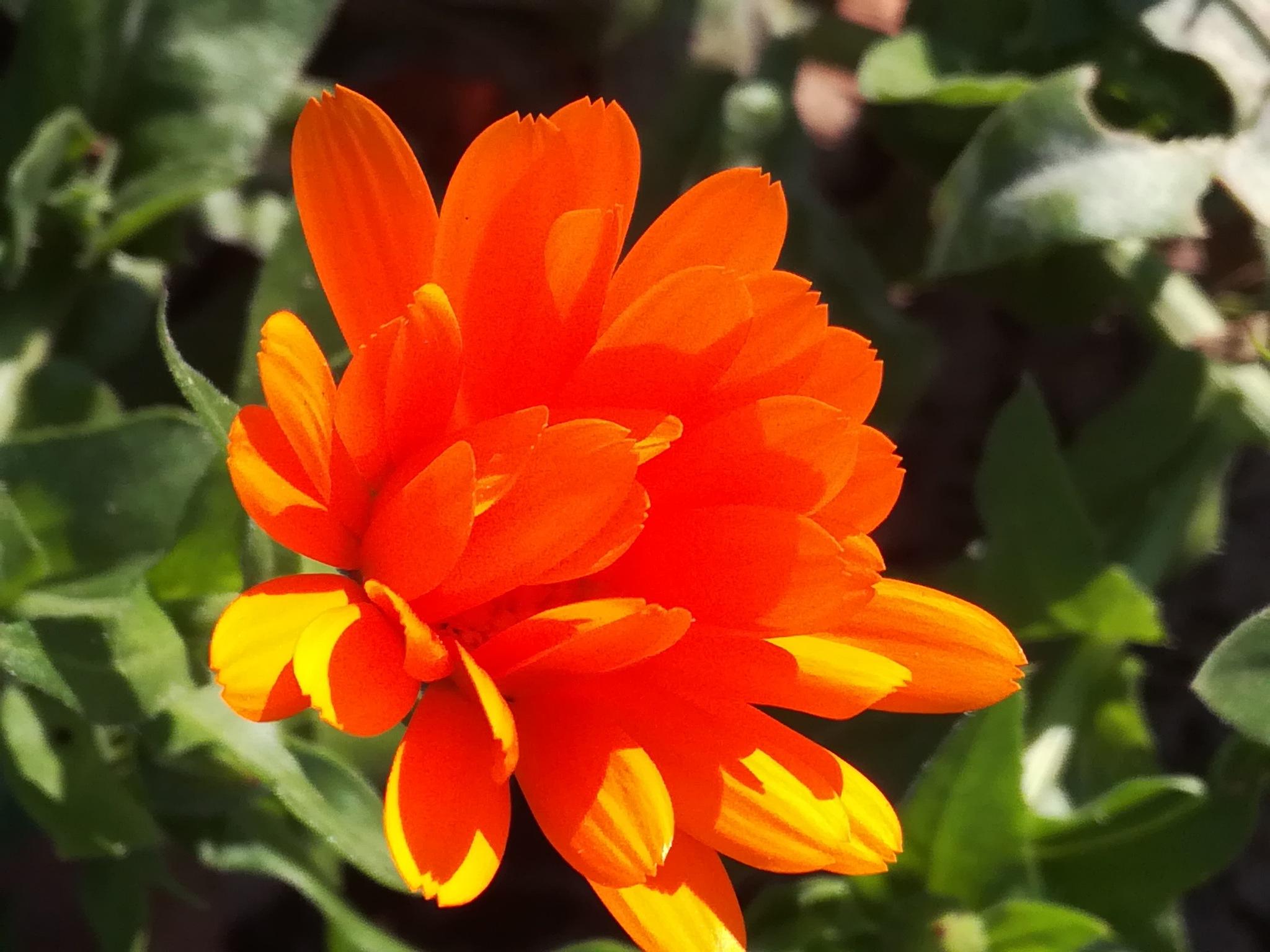 Orange flower by uzkuraitiene62