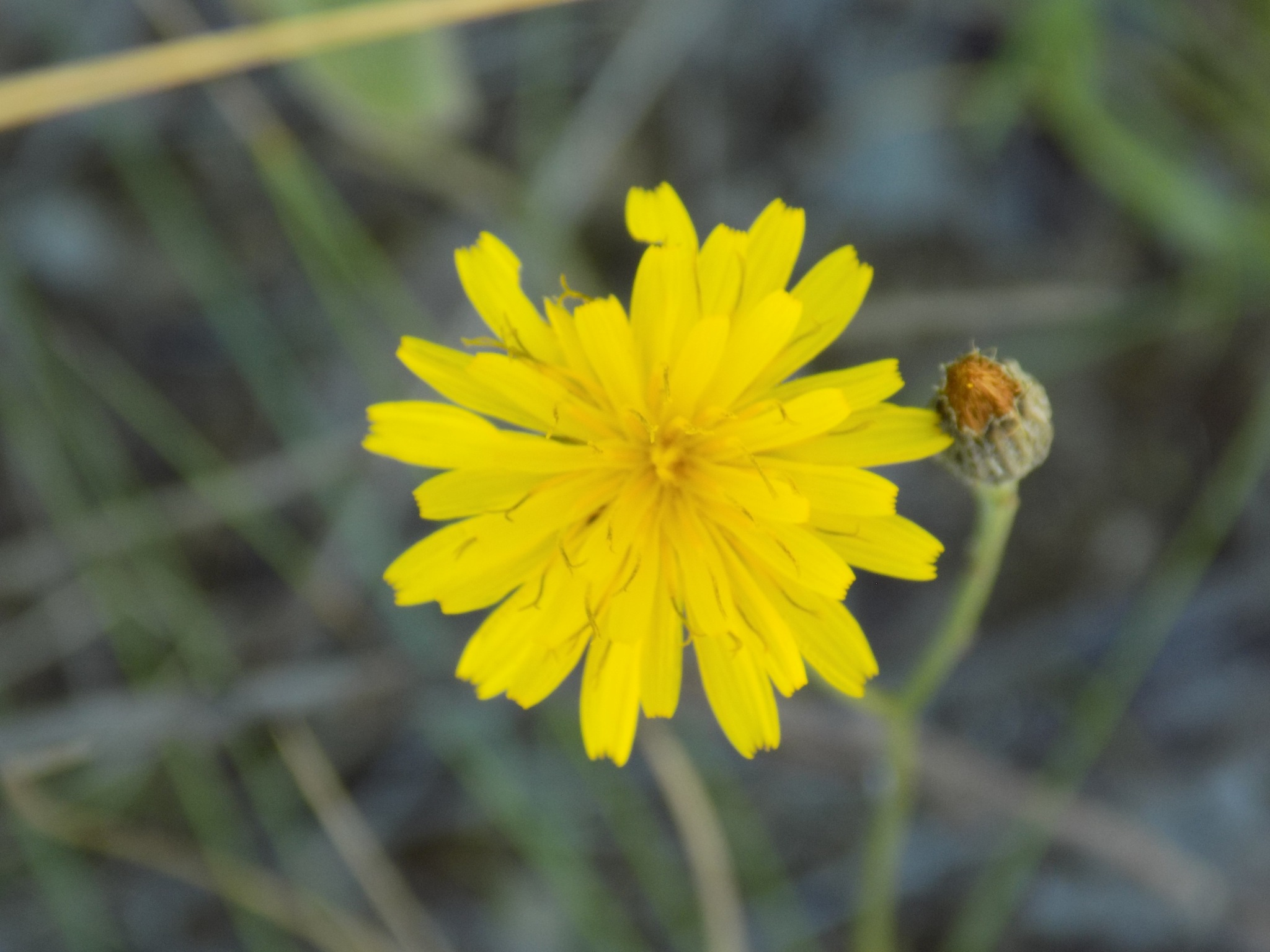 Wild flower by uzkuraitiene62