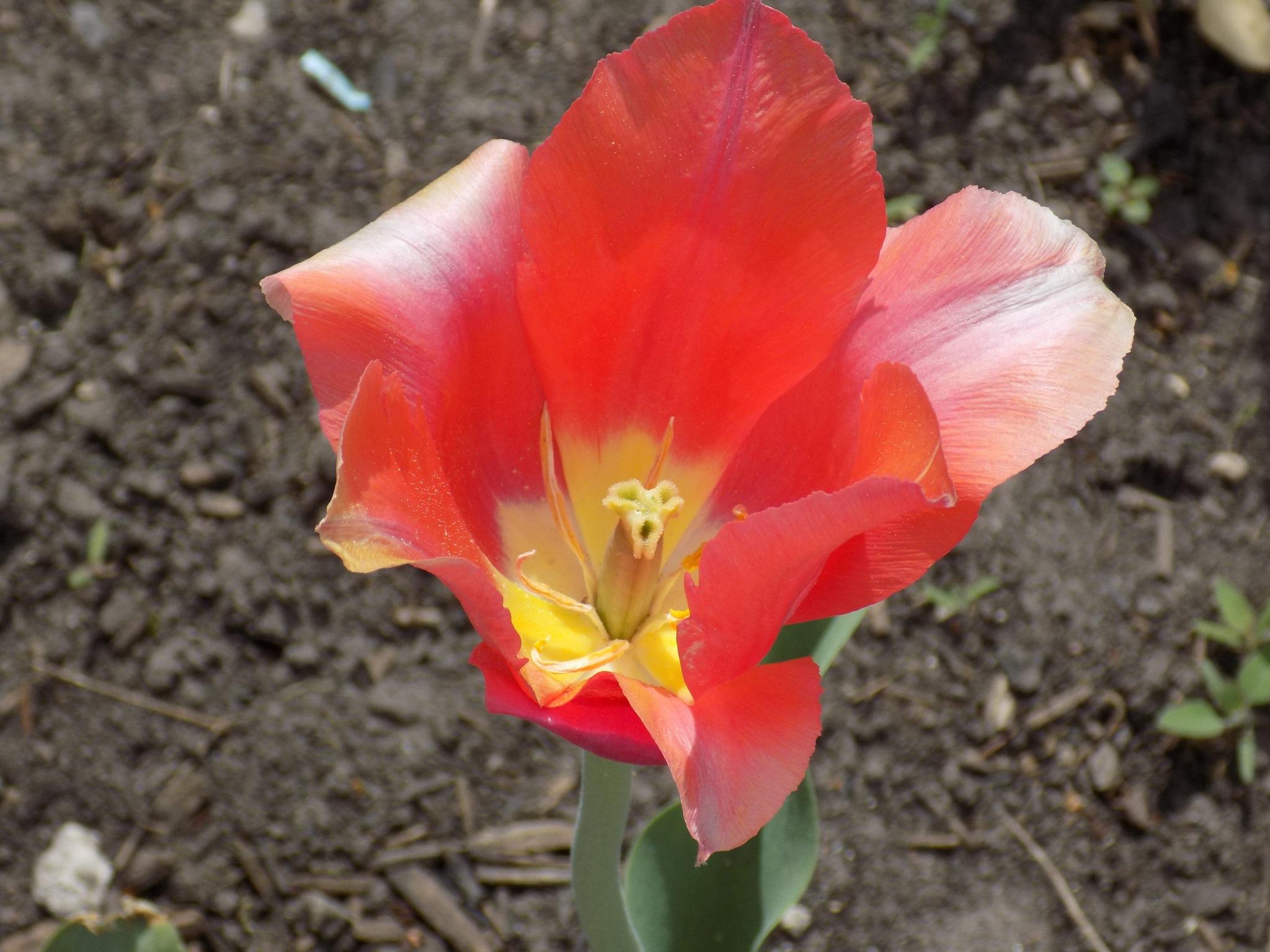 Tulip by uzkuraitiene62