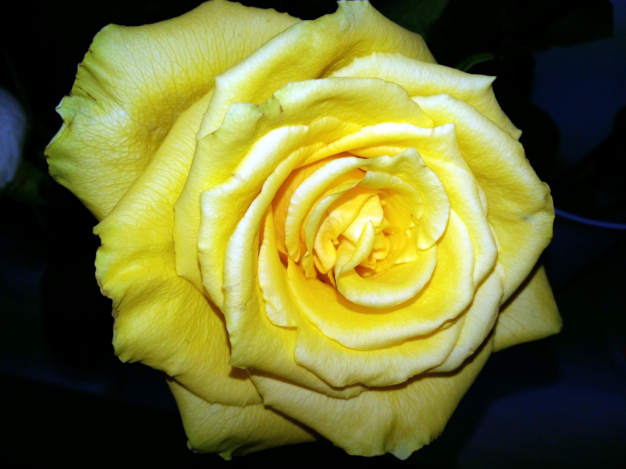 Yellow rose by uzkuraitiene62