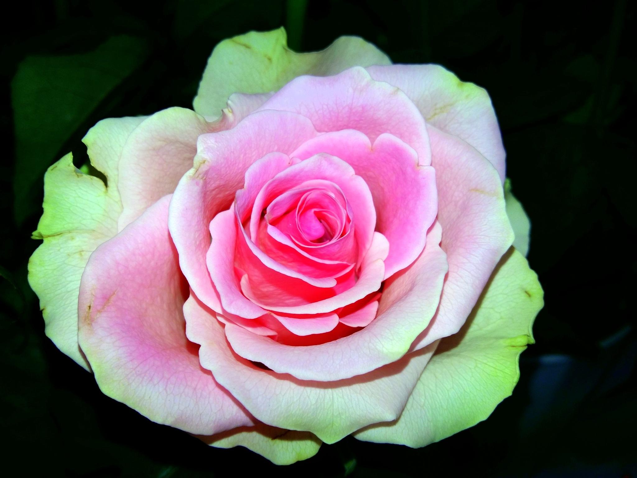 Rose by uzkuraitiene62