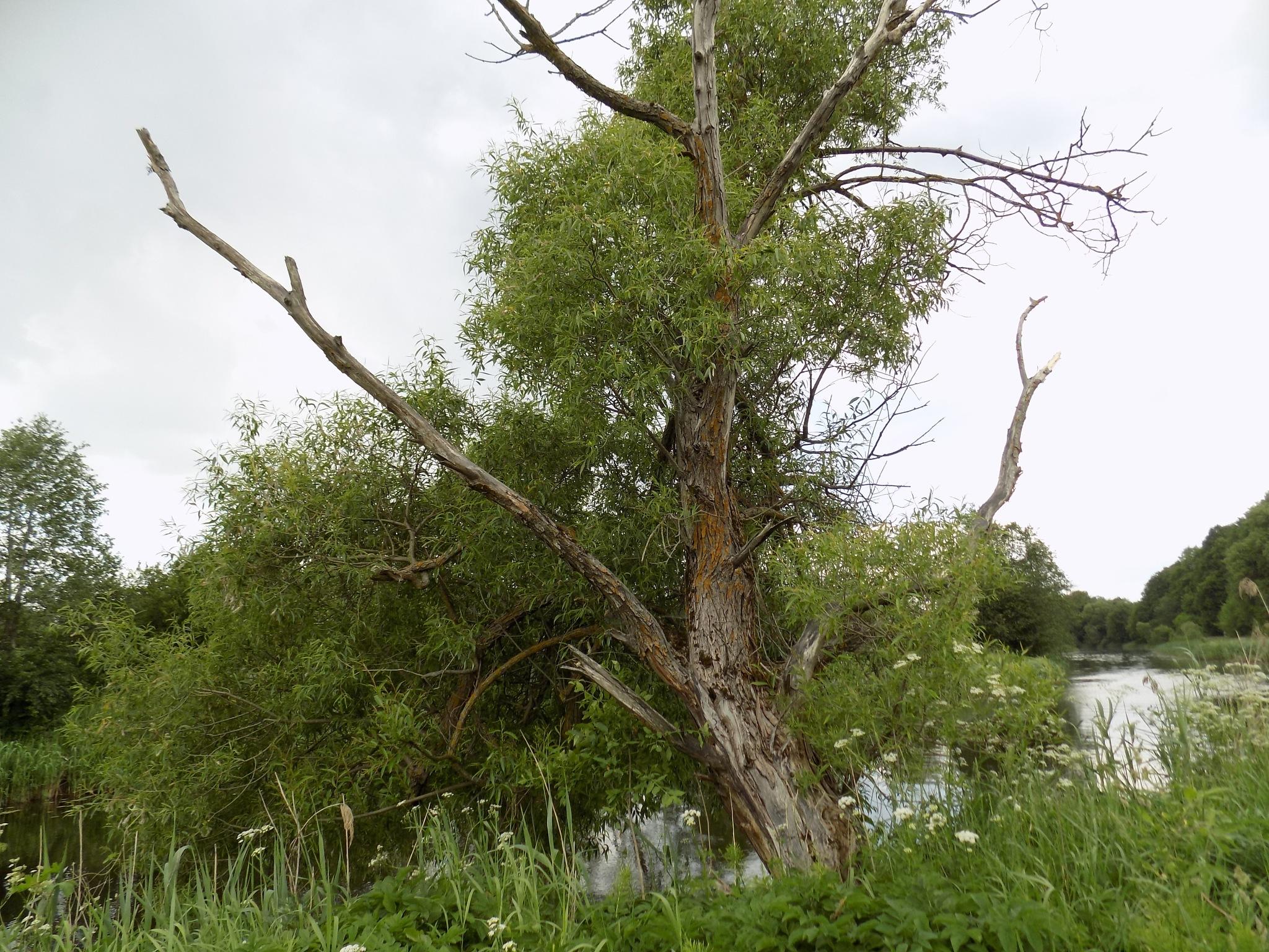 Very old riverside tree. by uzkuraitiene62