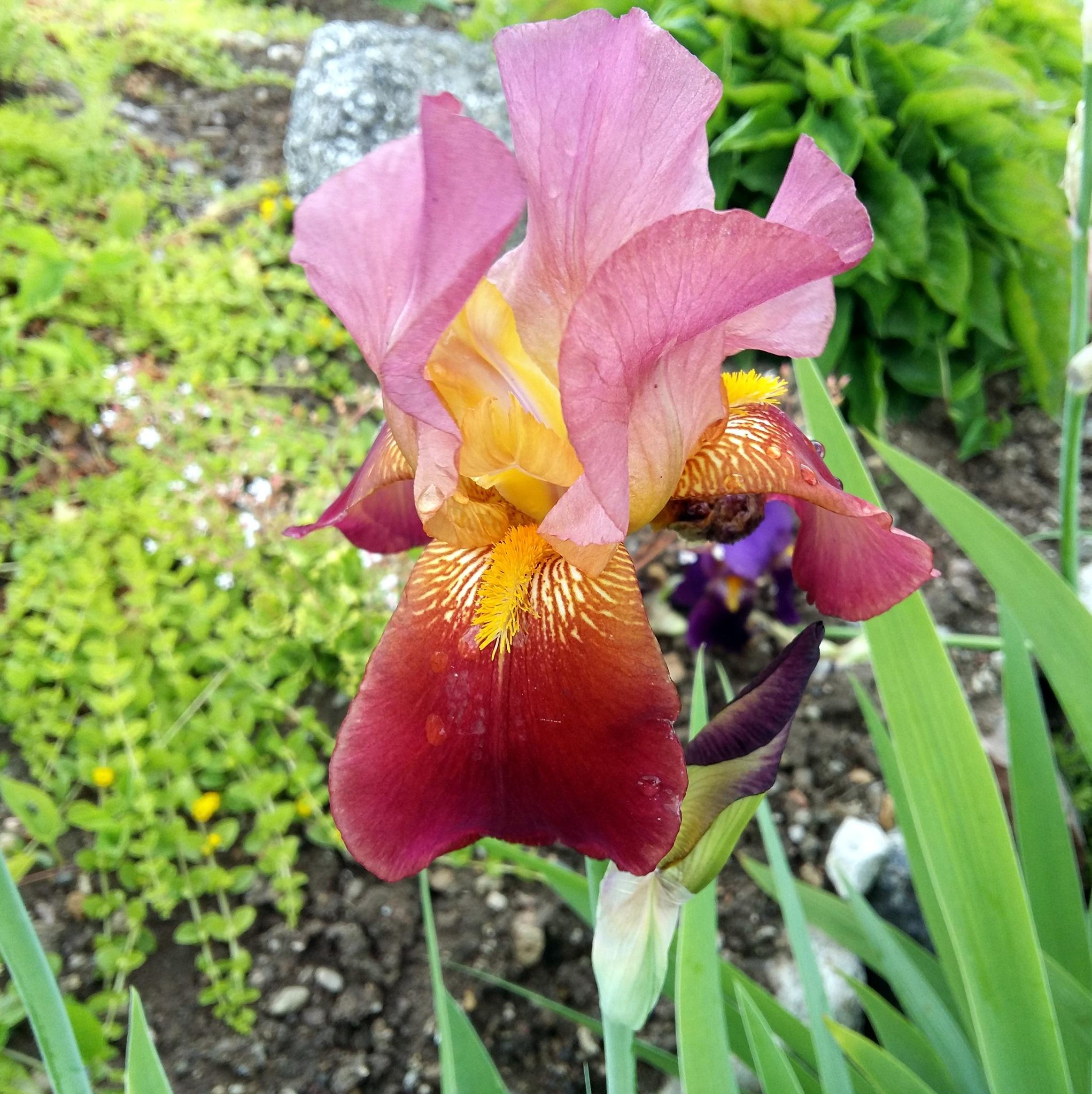 Iris. by uzkuraitiene62