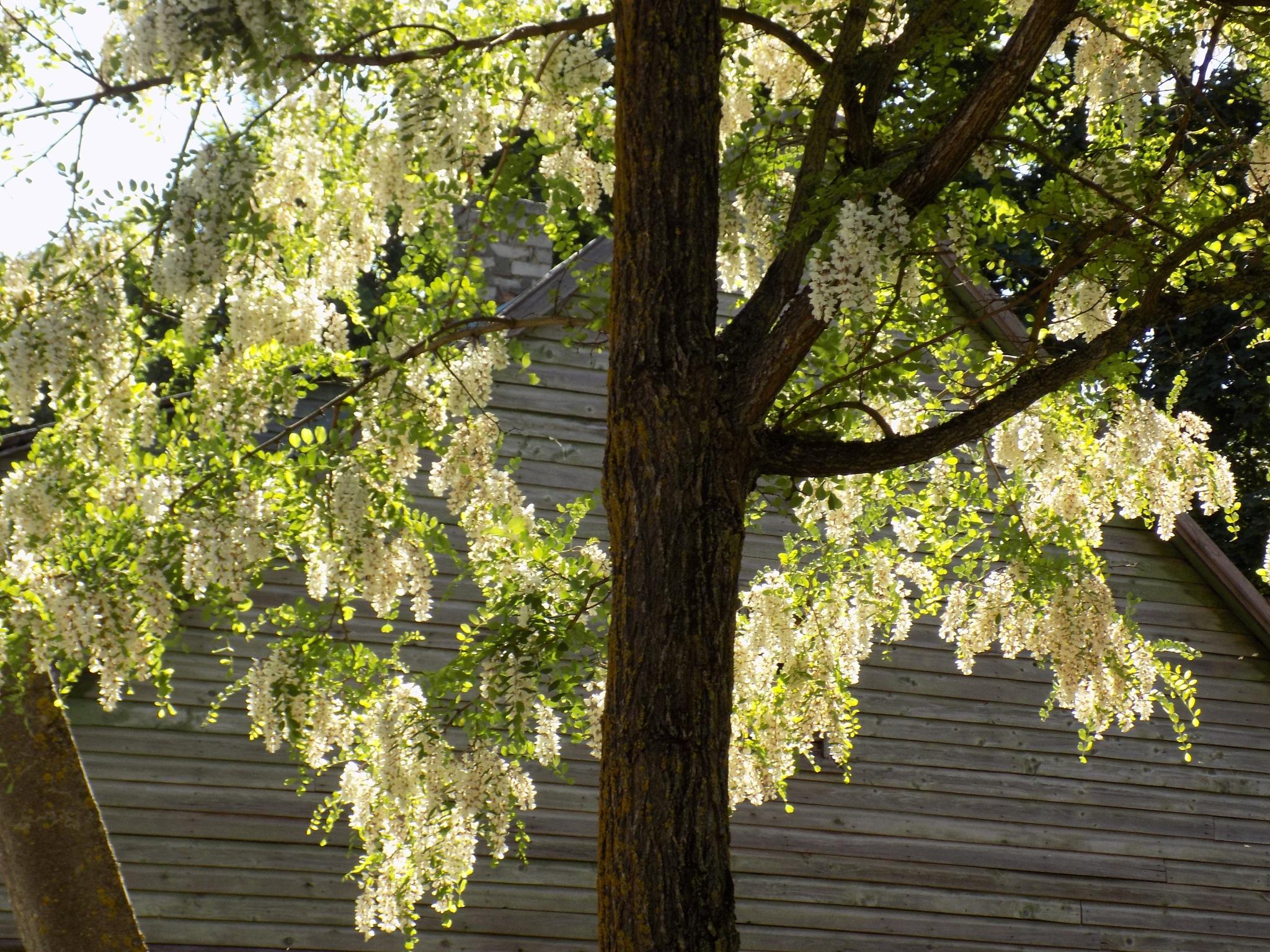 Tree in the spring by uzkuraitiene62