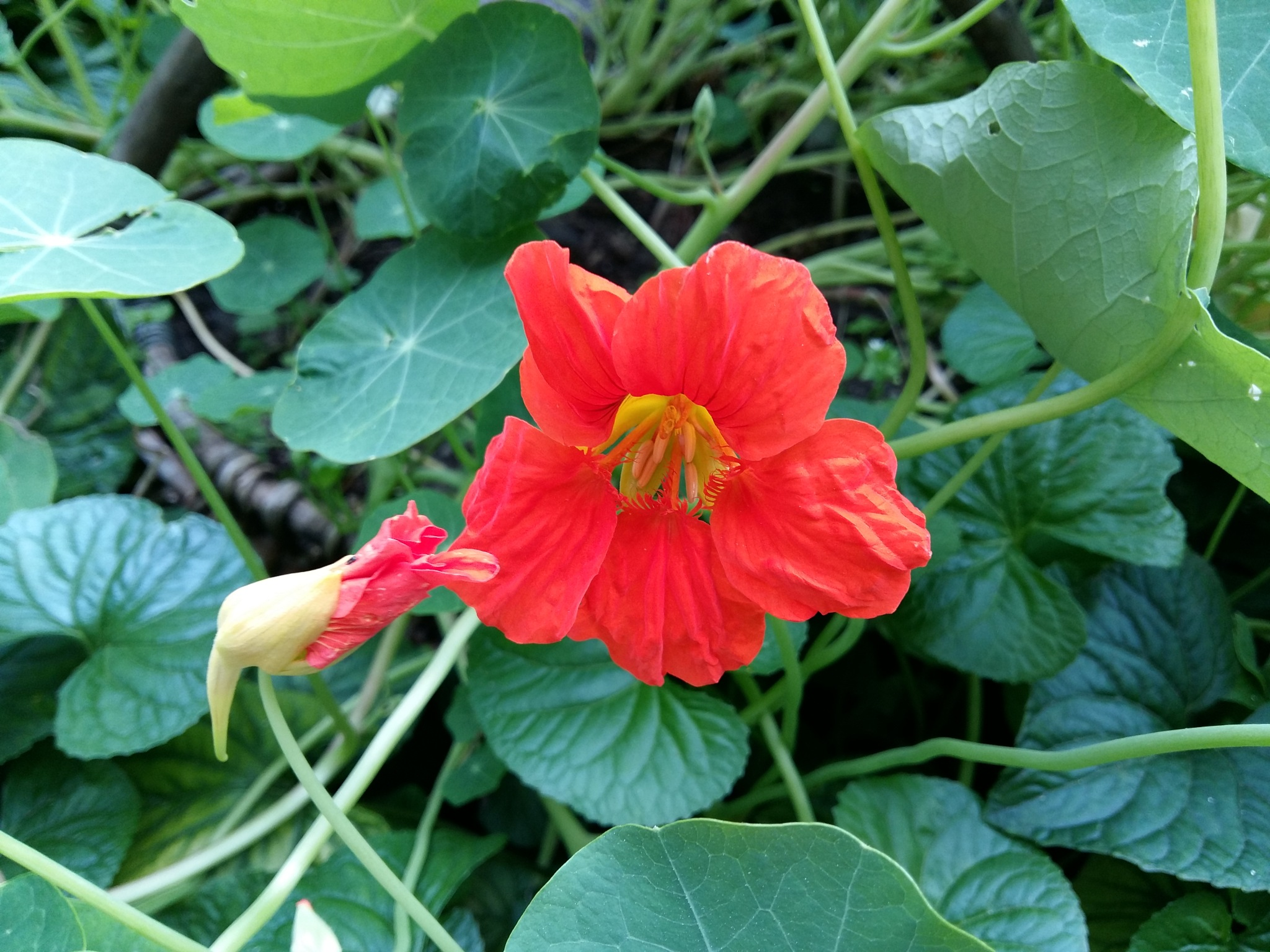 Flower with bud by uzkuraitiene62