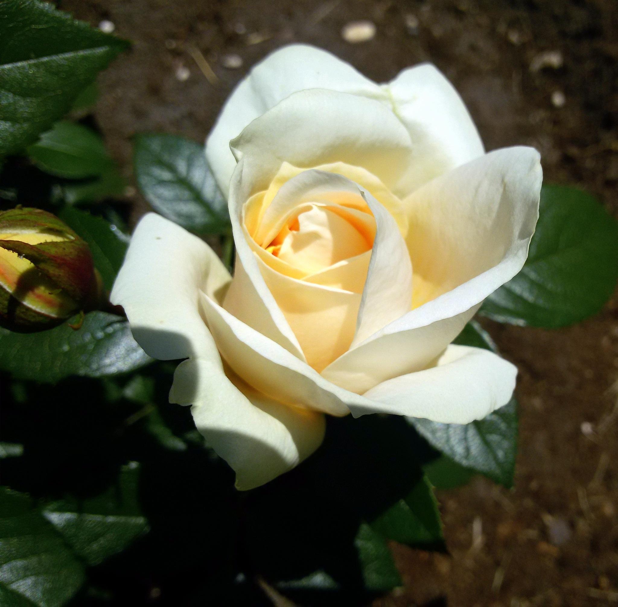 Rose. by uzkuraitiene62
