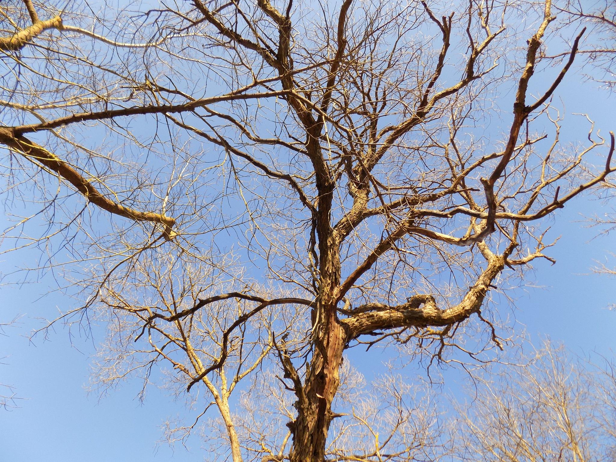 Dried tree by uzkuraitiene62