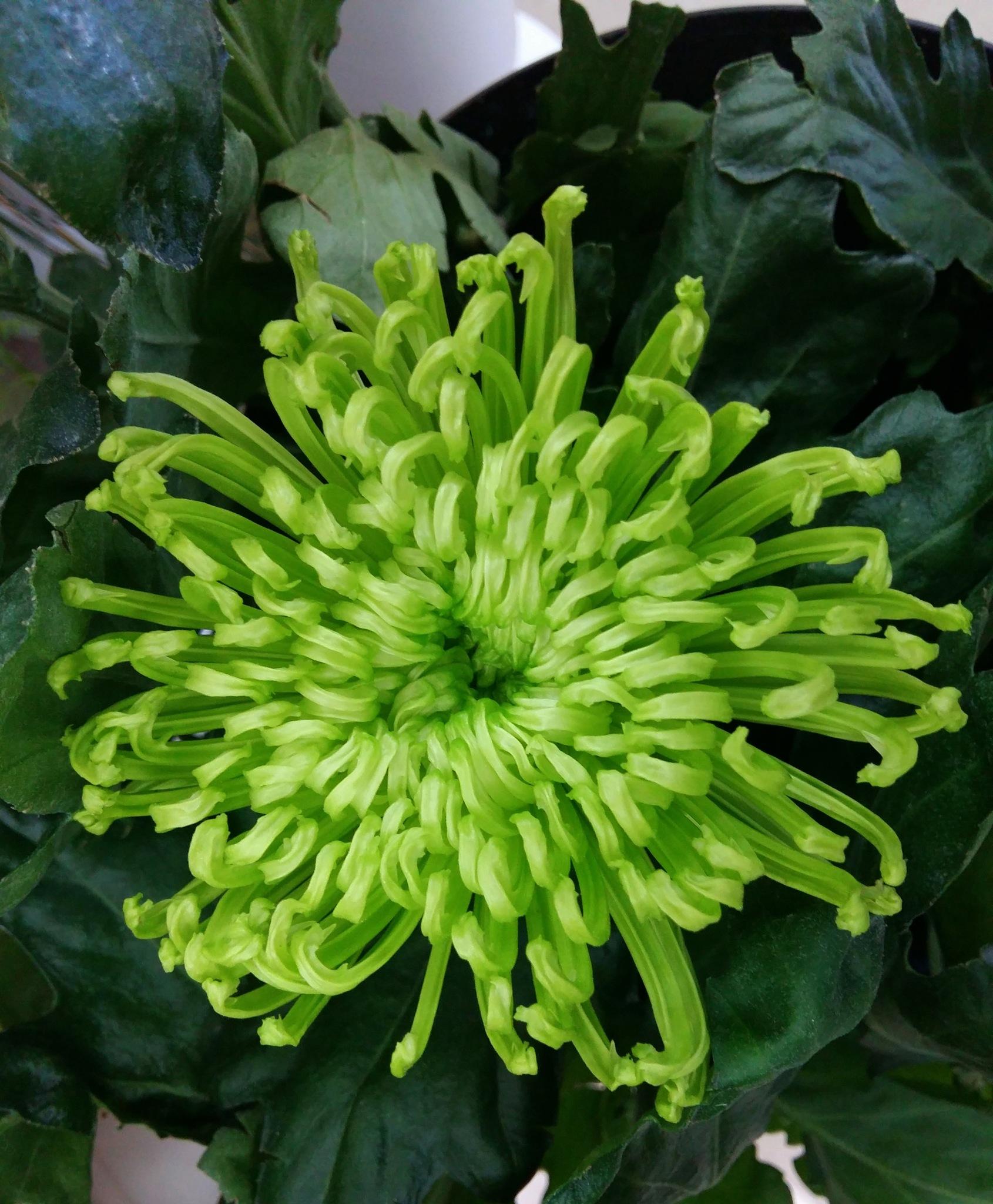 Chrysanthemum by uzkuraitiene62