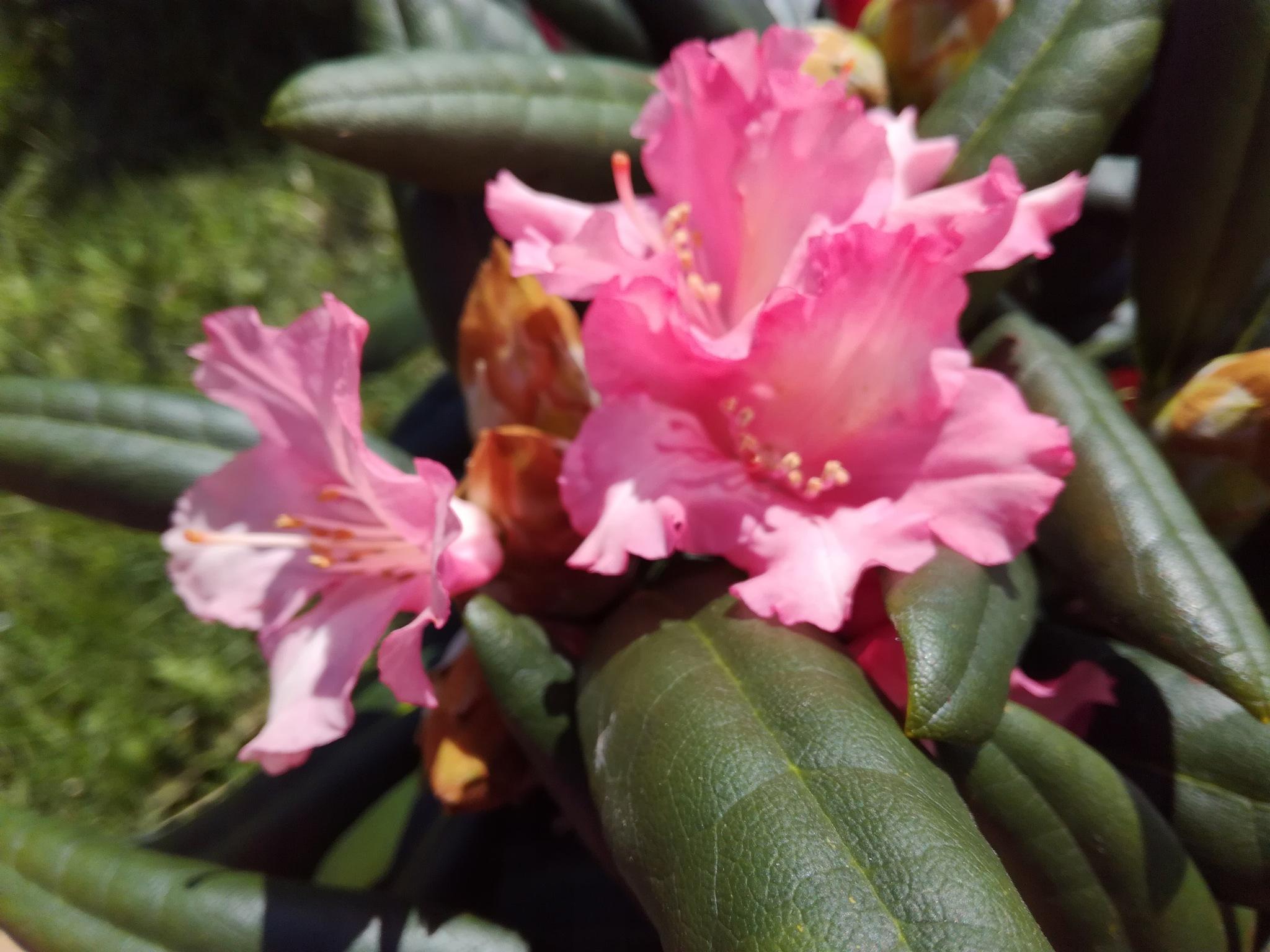 Rhododendron by uzkuraitiene62