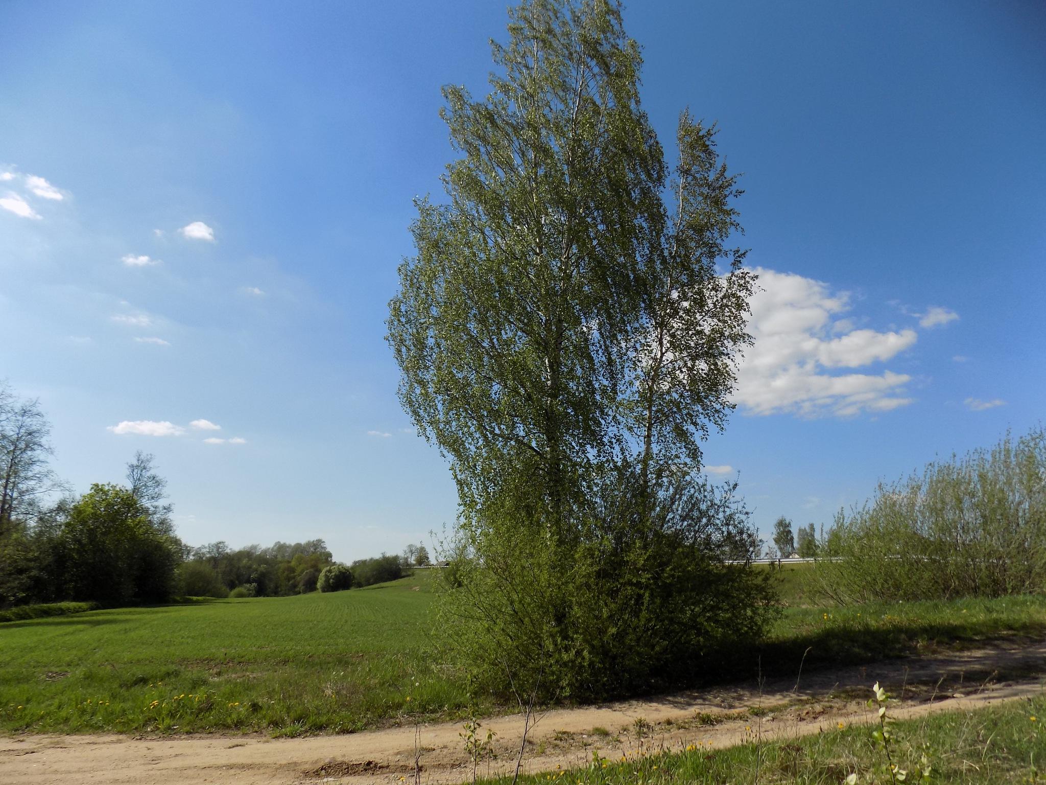 Birch along the trail by uzkuraitiene62