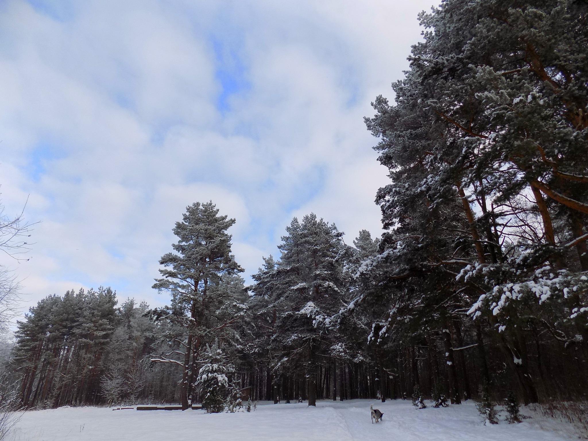 Forest in winter by uzkuraitiene62