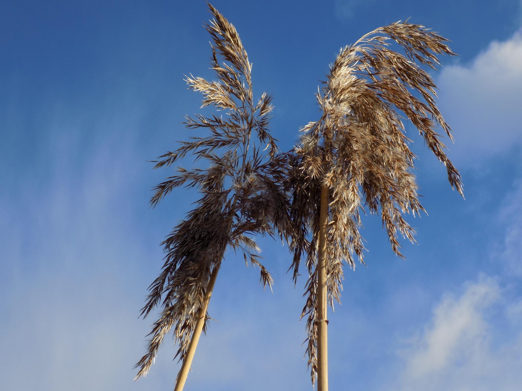 Reeds and sky by uzkuraitiene62