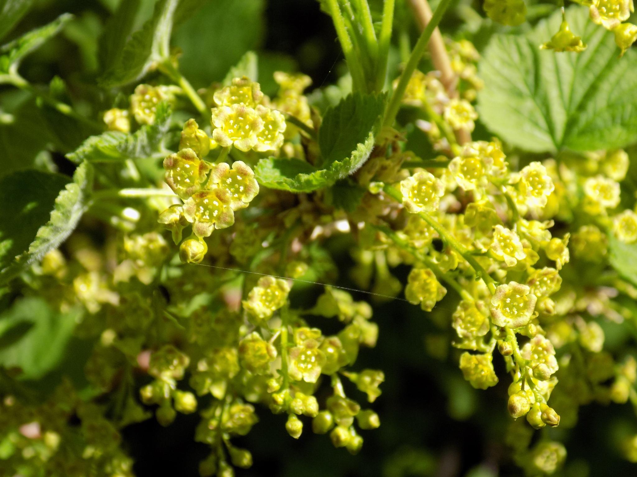 Blooming currants by uzkuraitiene62
