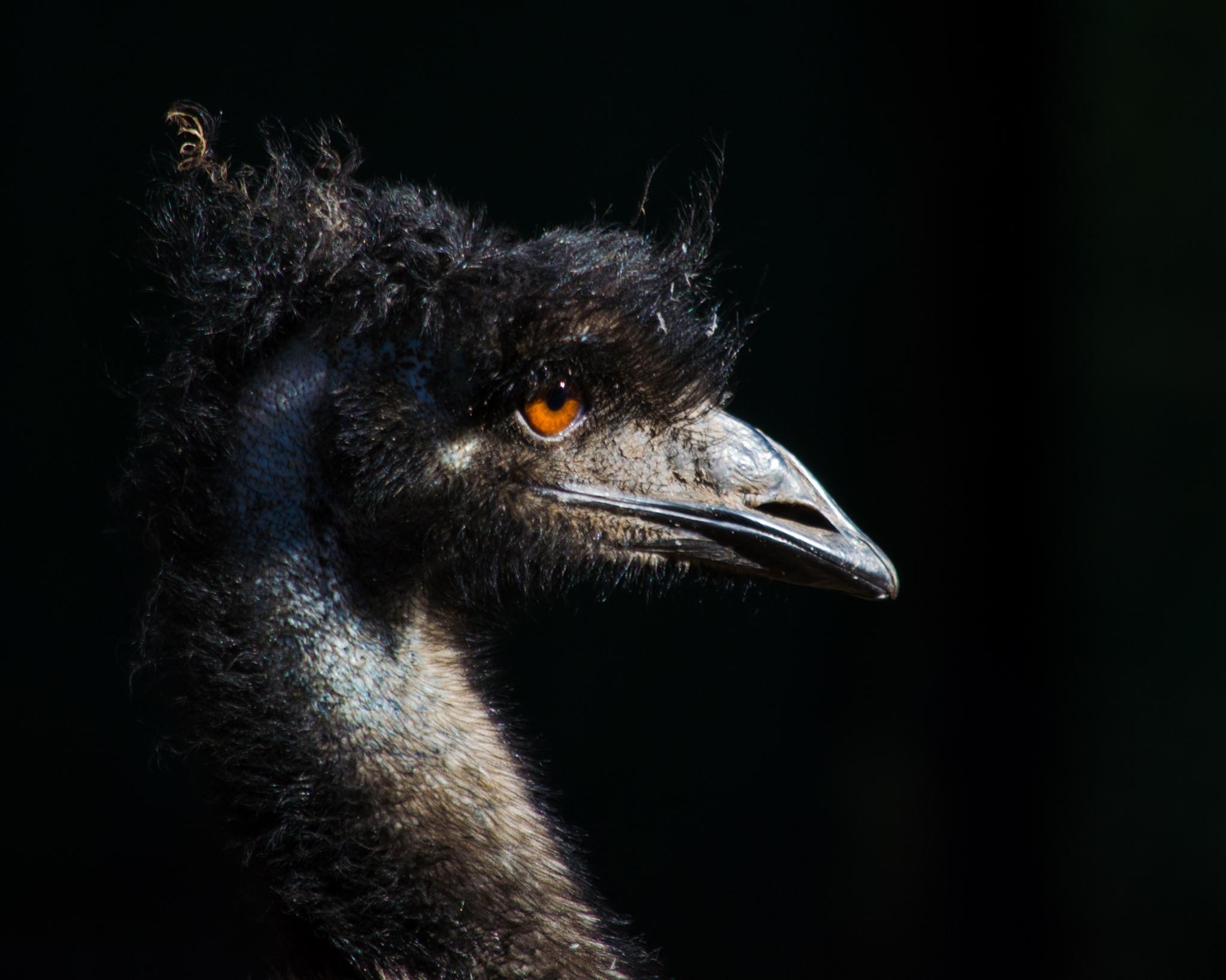 An Emu by marilyncov