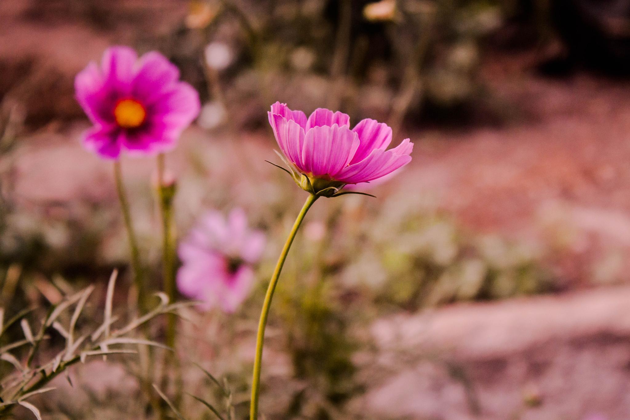 Pink Beauty  by carolina.abemiel