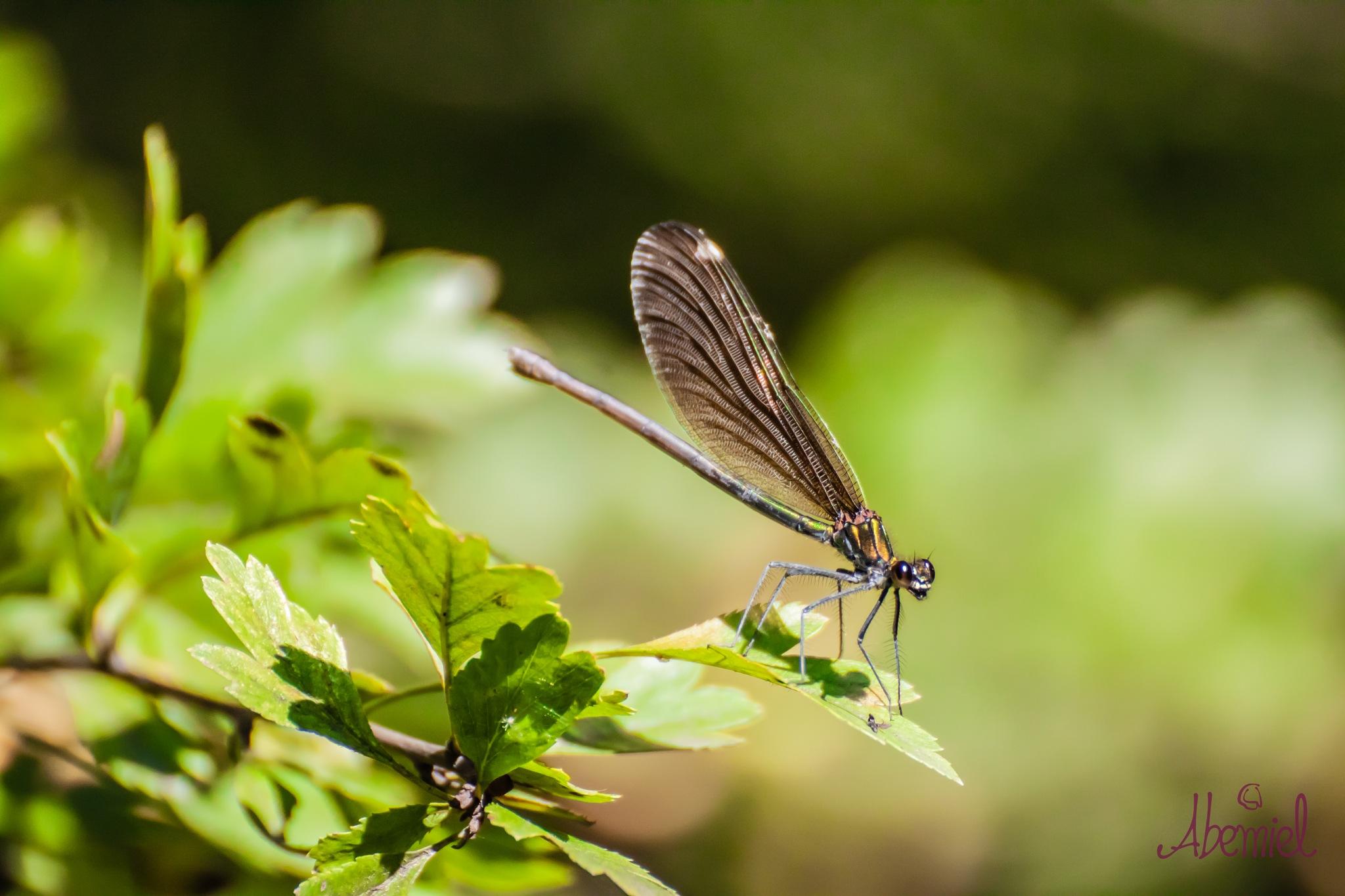 Brown Dragonfly by carolina.abemiel