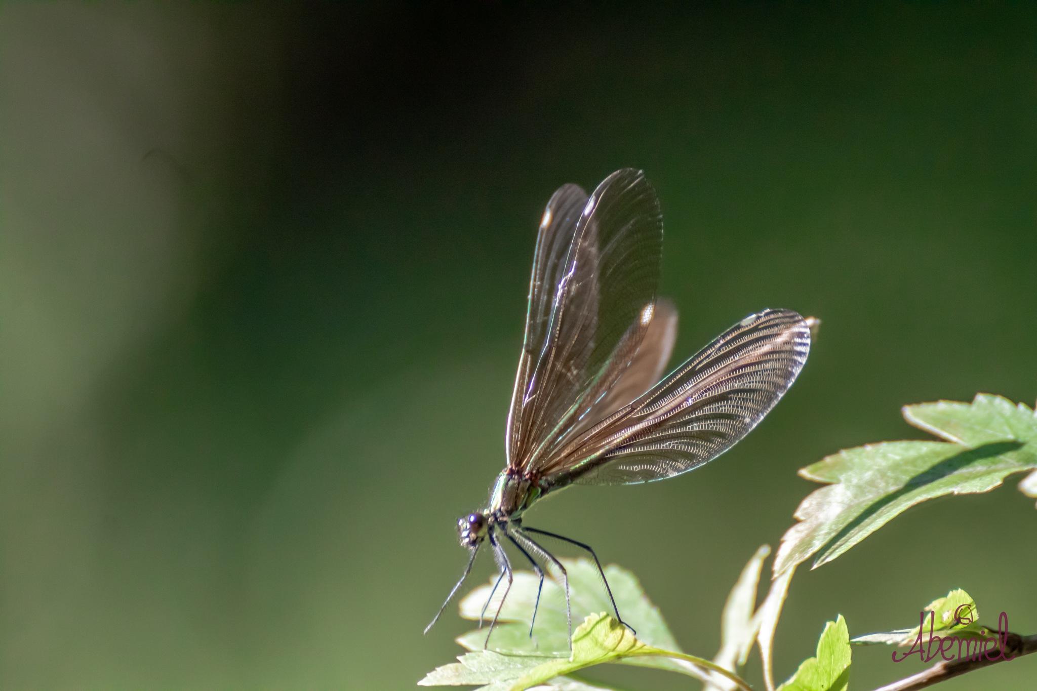 Brown Dragonfly 2 by carolina.abemiel