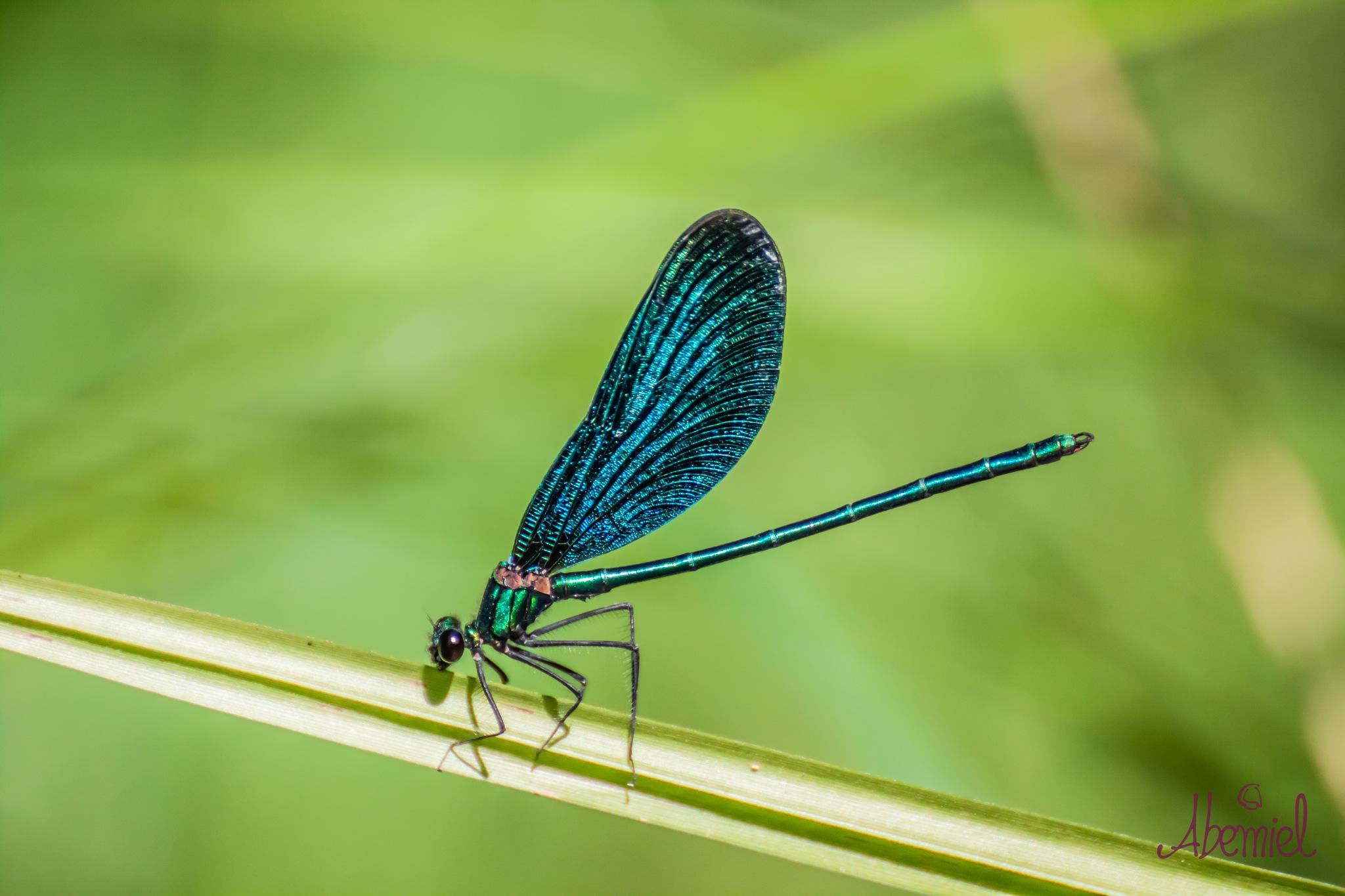 Blue Dragonfly  by carolina.abemiel