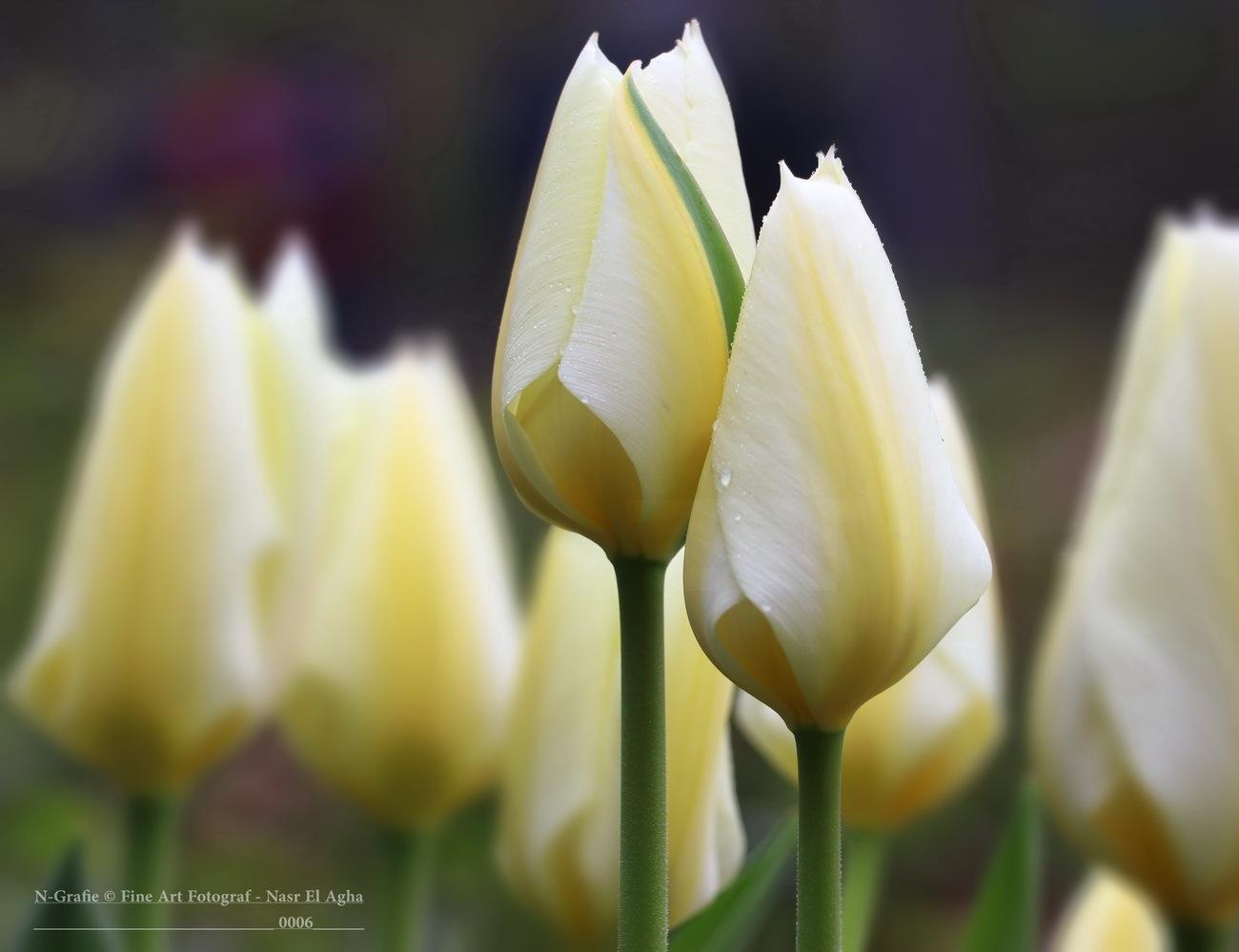 Tulips  by Nasr El Agha