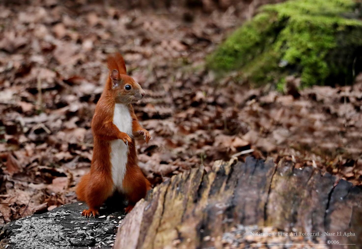 squirrel by Nasr El Agha