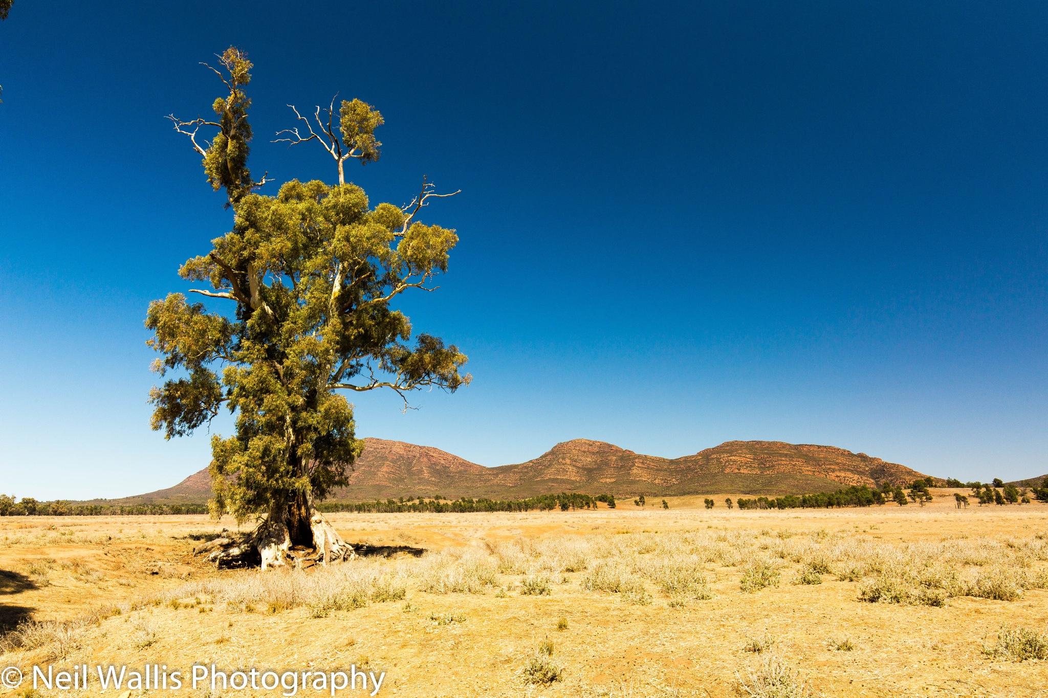 Cazneaux's Tree Ikara Flinders Ranges by Neil Wallis
