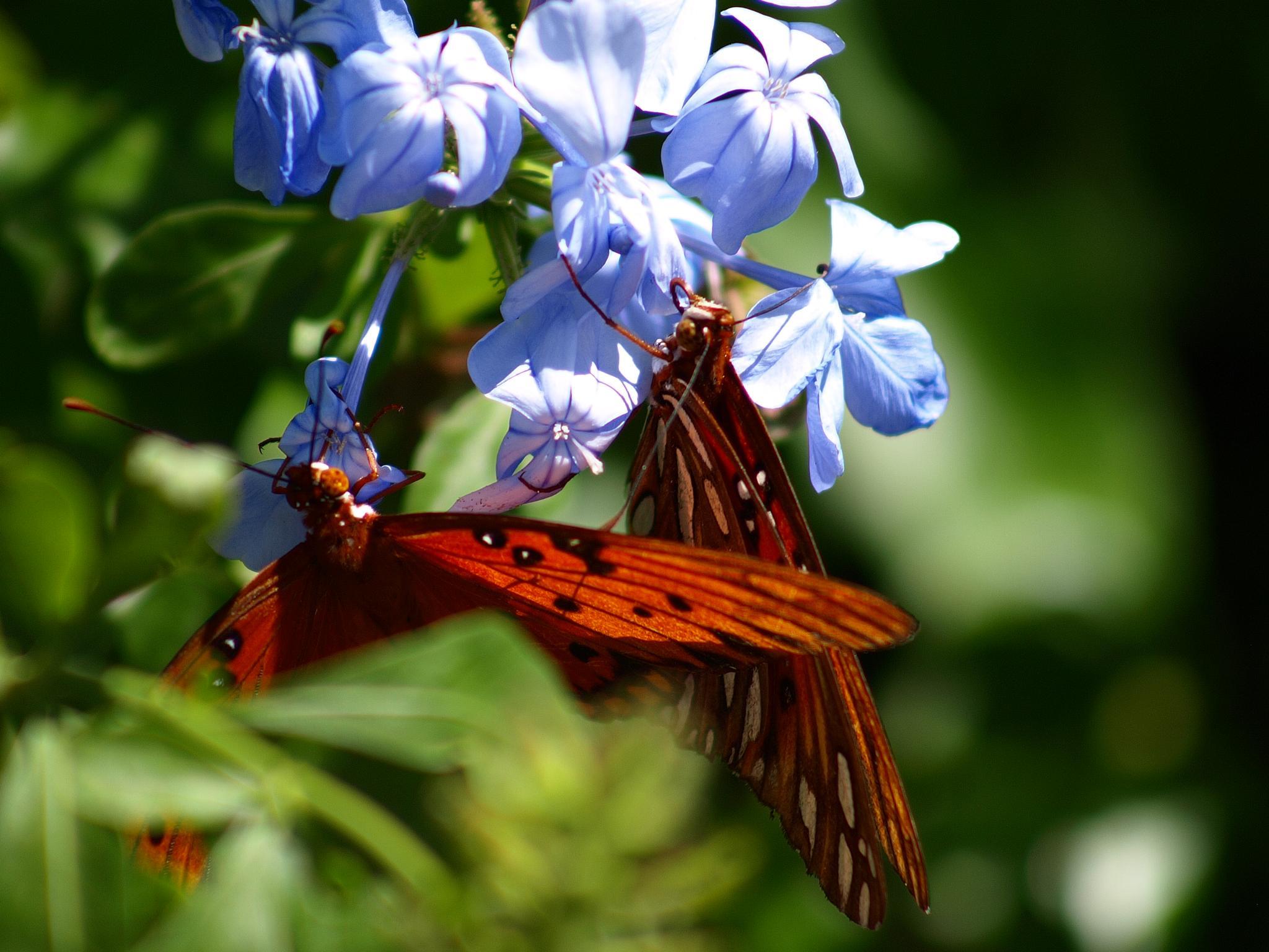 Gulf Fritillary butterflies by asbelleview