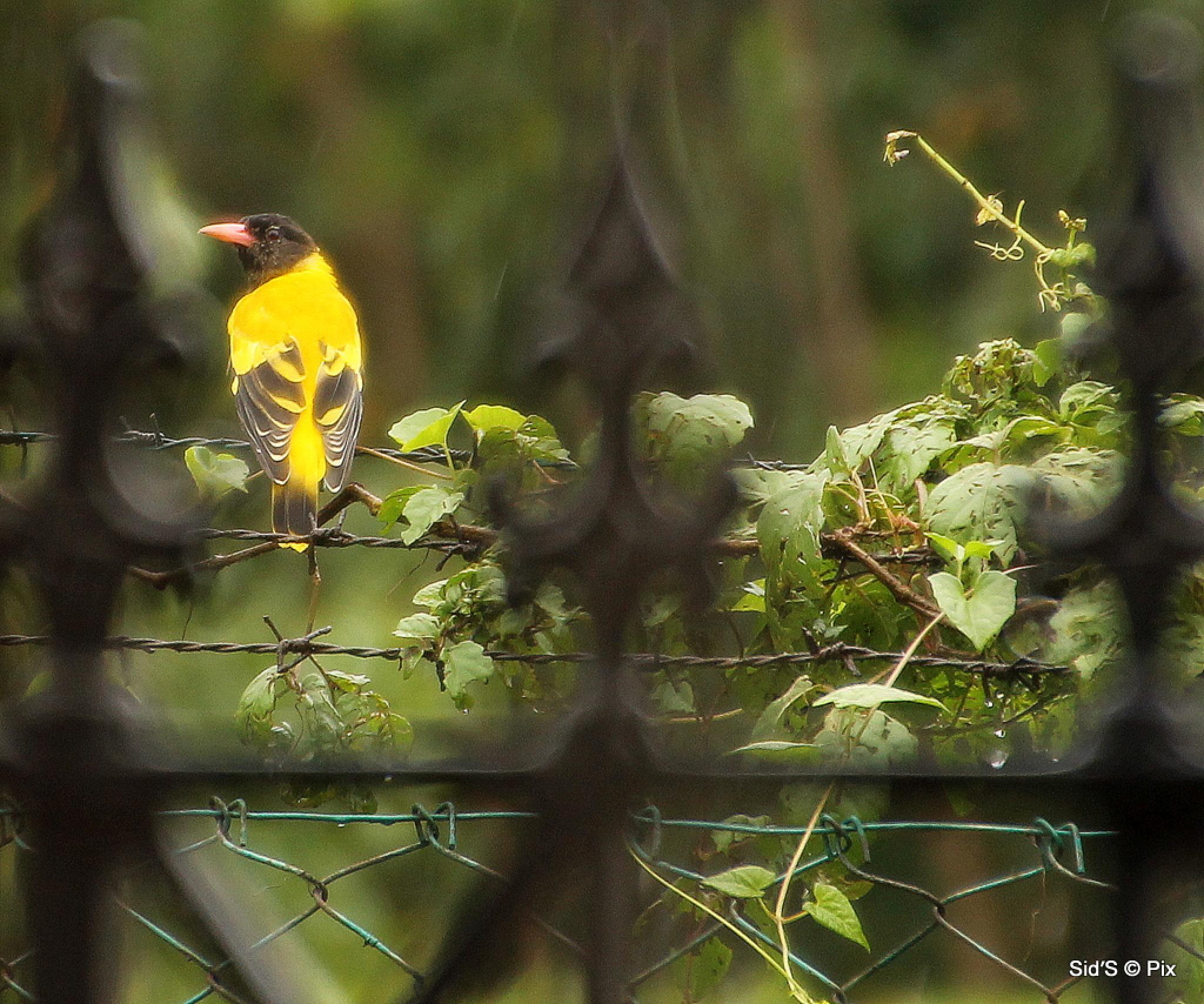 Yellow Bird  by Siddharth Sanyal