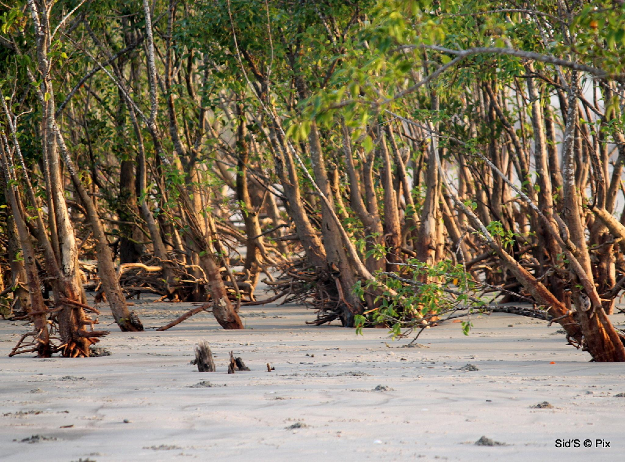 Mangrove Forest Leaning Away from Sea by Siddharth Sanyal
