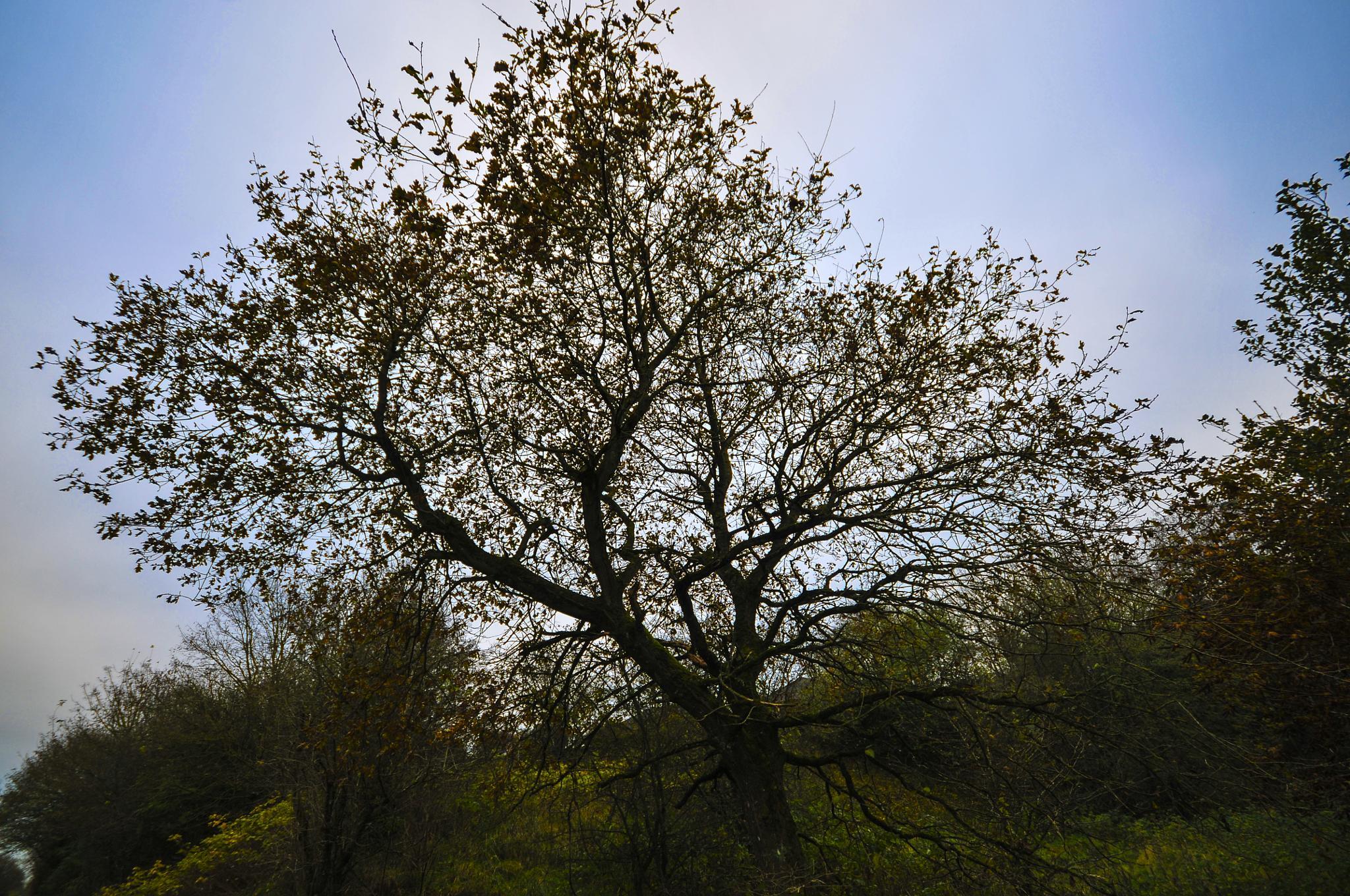 A BIG ol' tree by Steen Skov