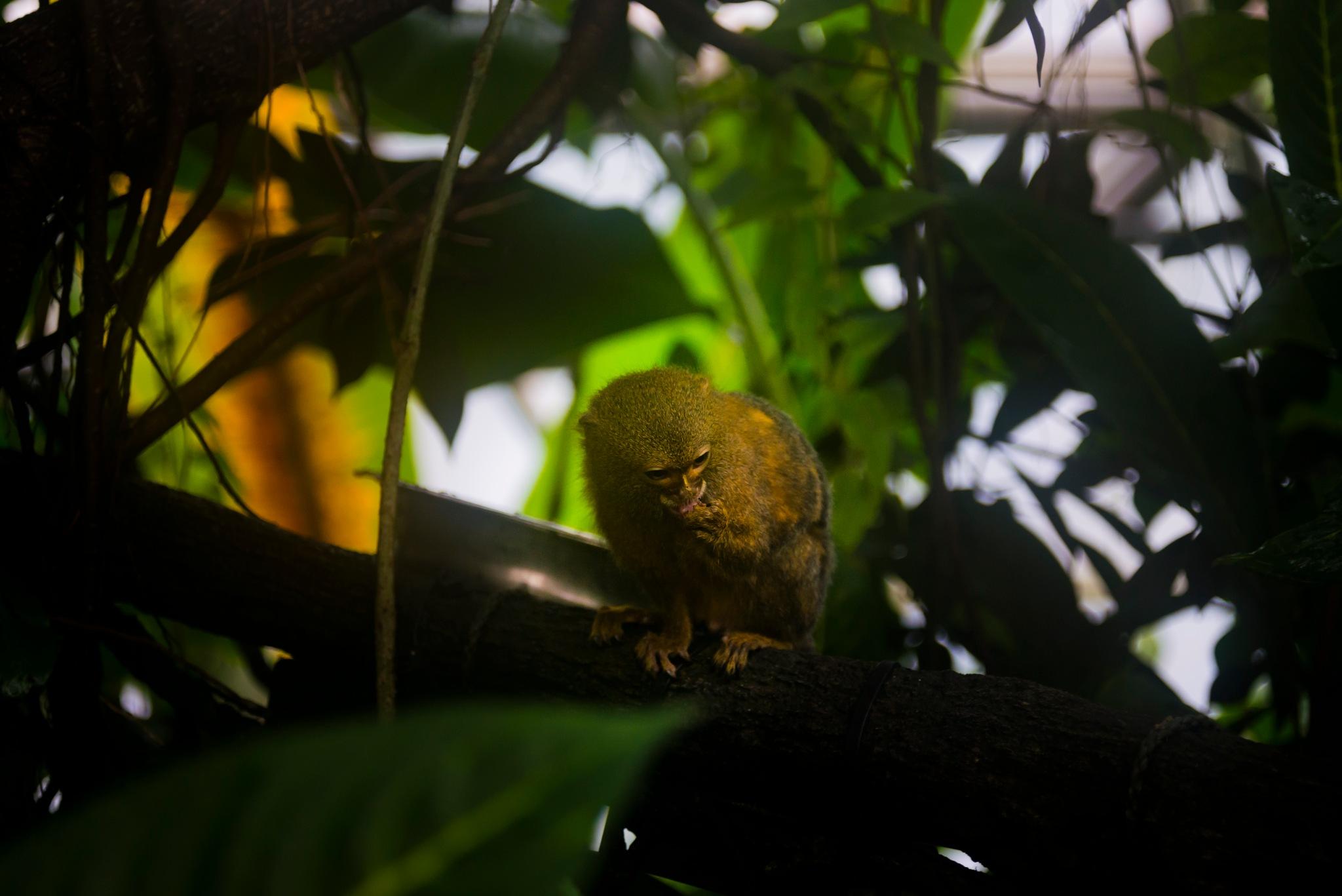 Tiny monkey - on a branch by Steen Skov