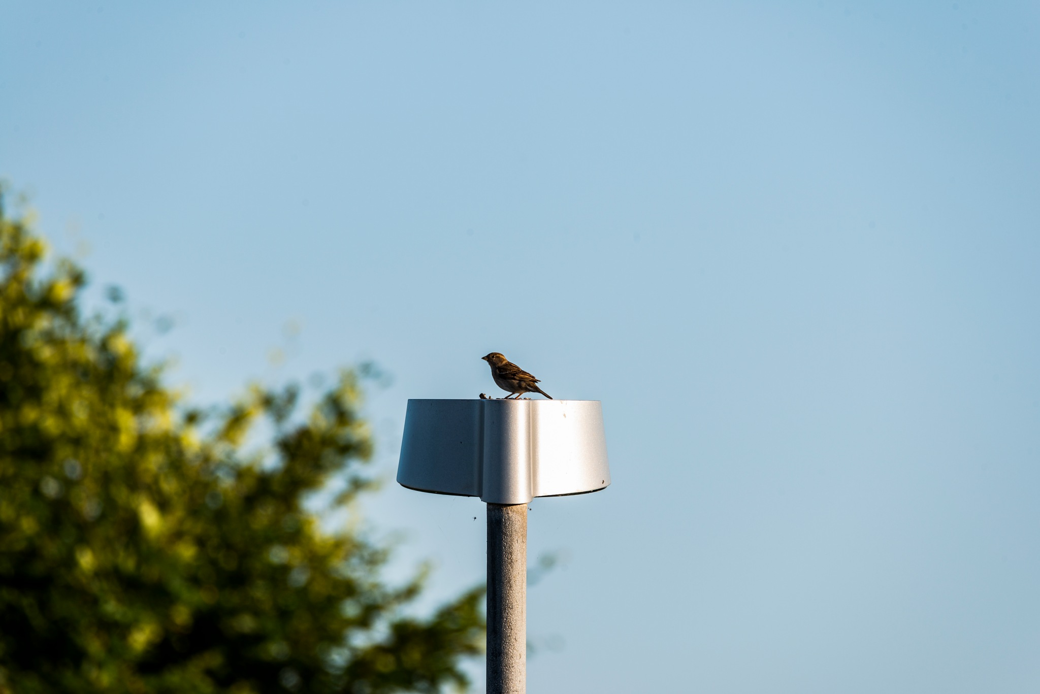 Female sparrow on a lamp post by Steen Skov