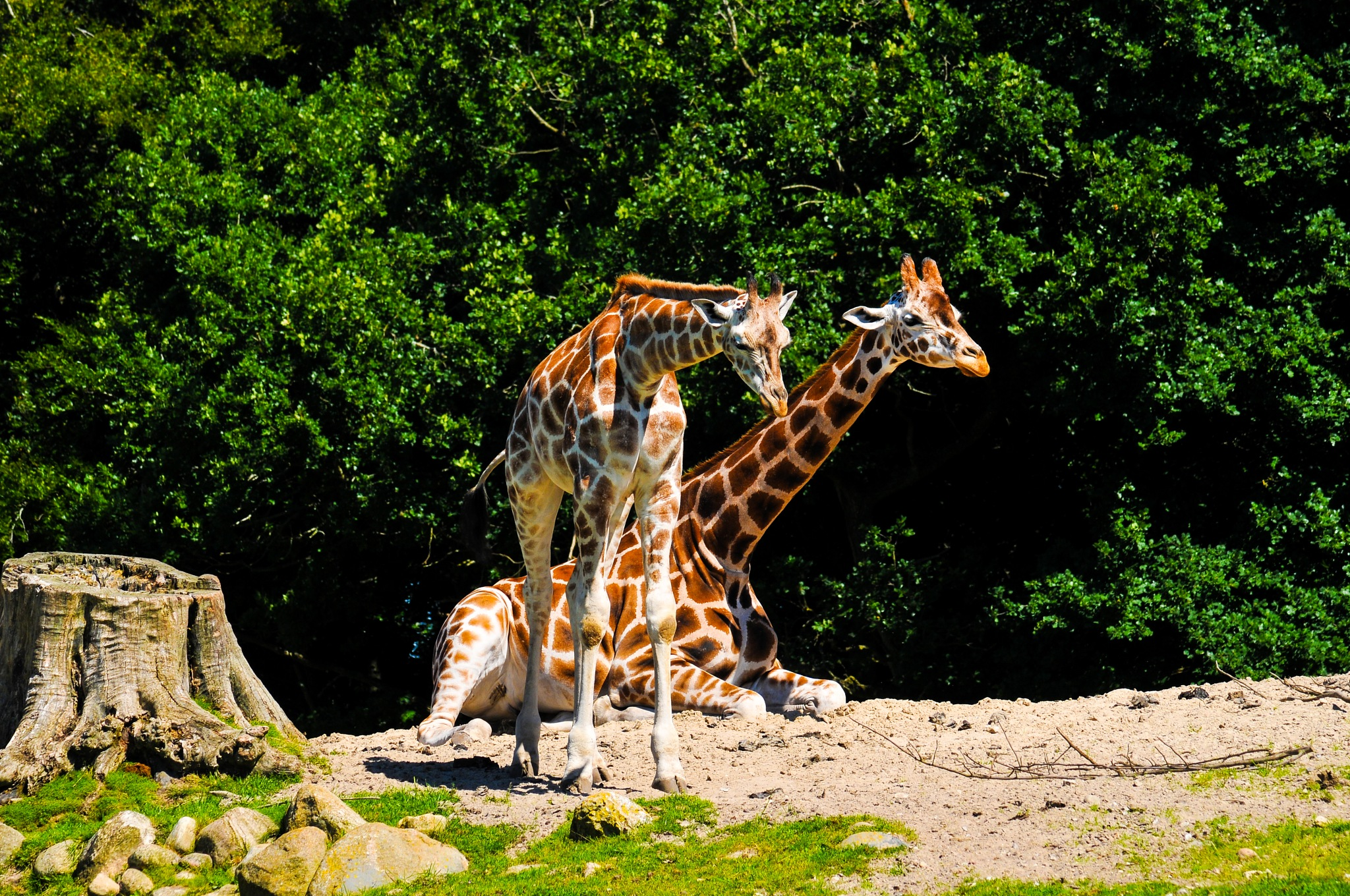 Two giraffes by Steen Skov