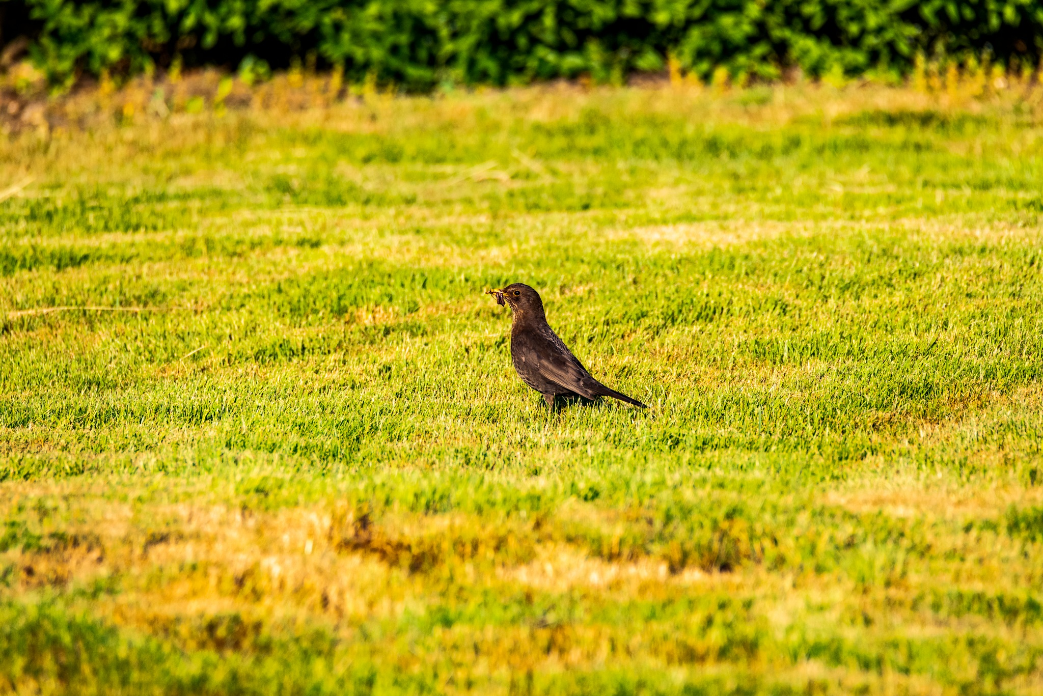 Female blackbird found a worm by Steen Skov