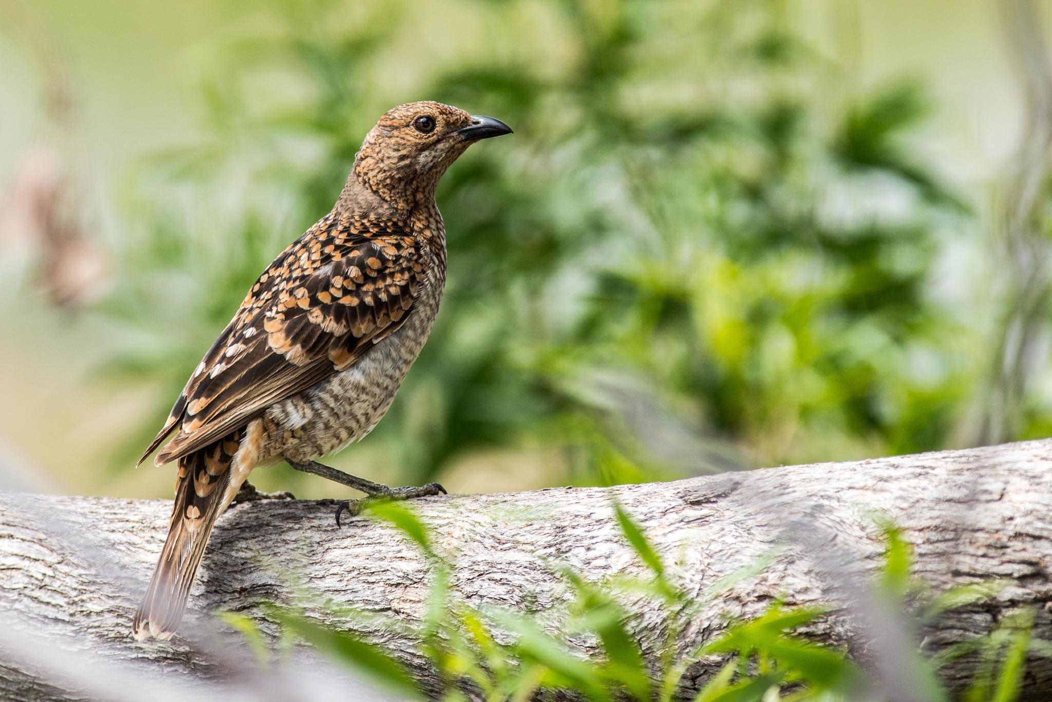 Spotted Bowerbird by chrisgnixon
